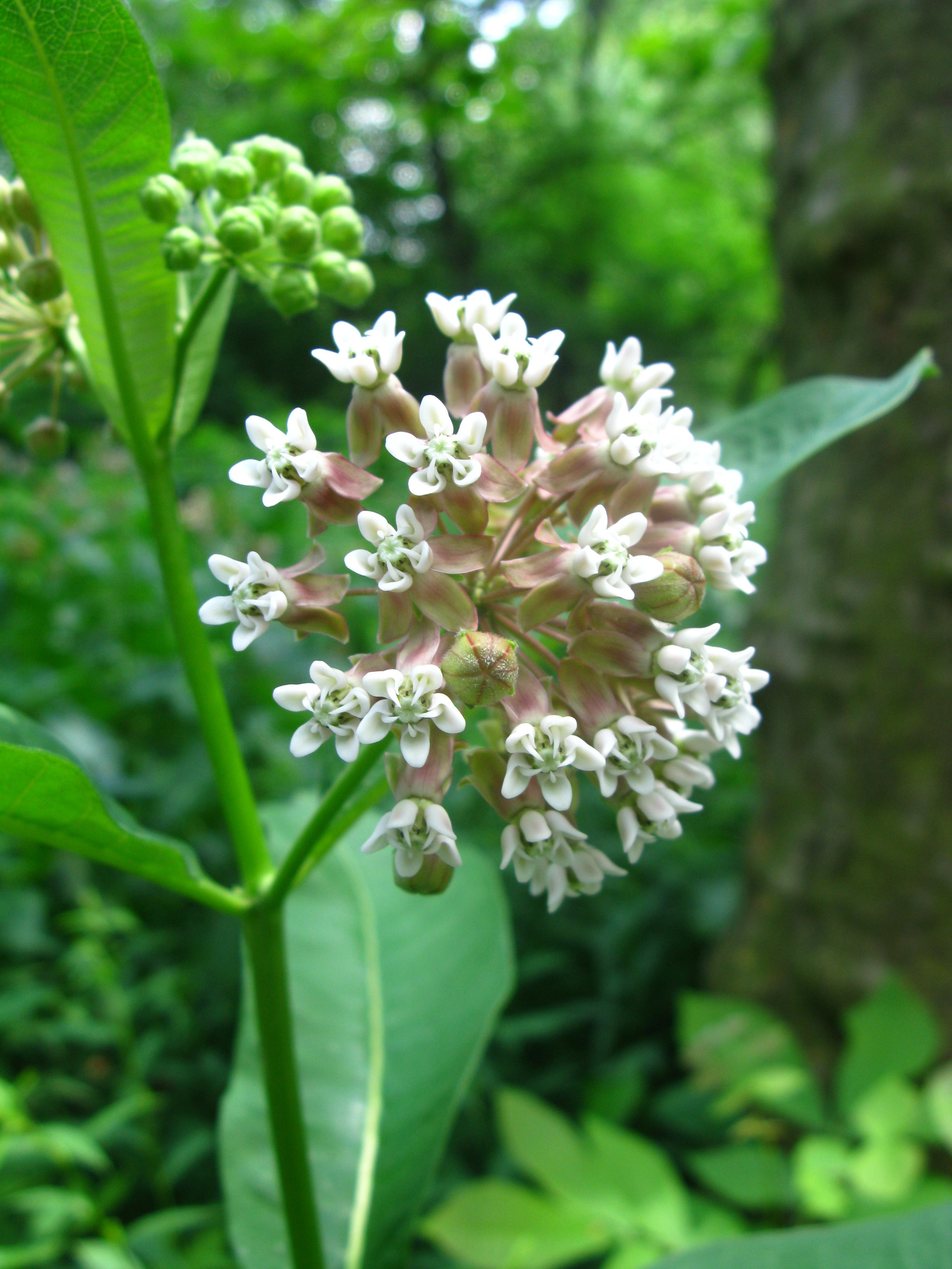 Asclepias syriaca Asclepiadaceae