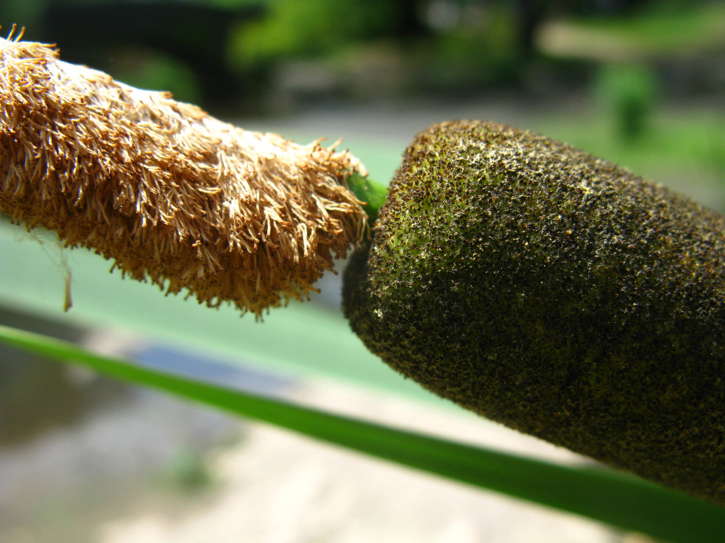 Typha inflorescence
