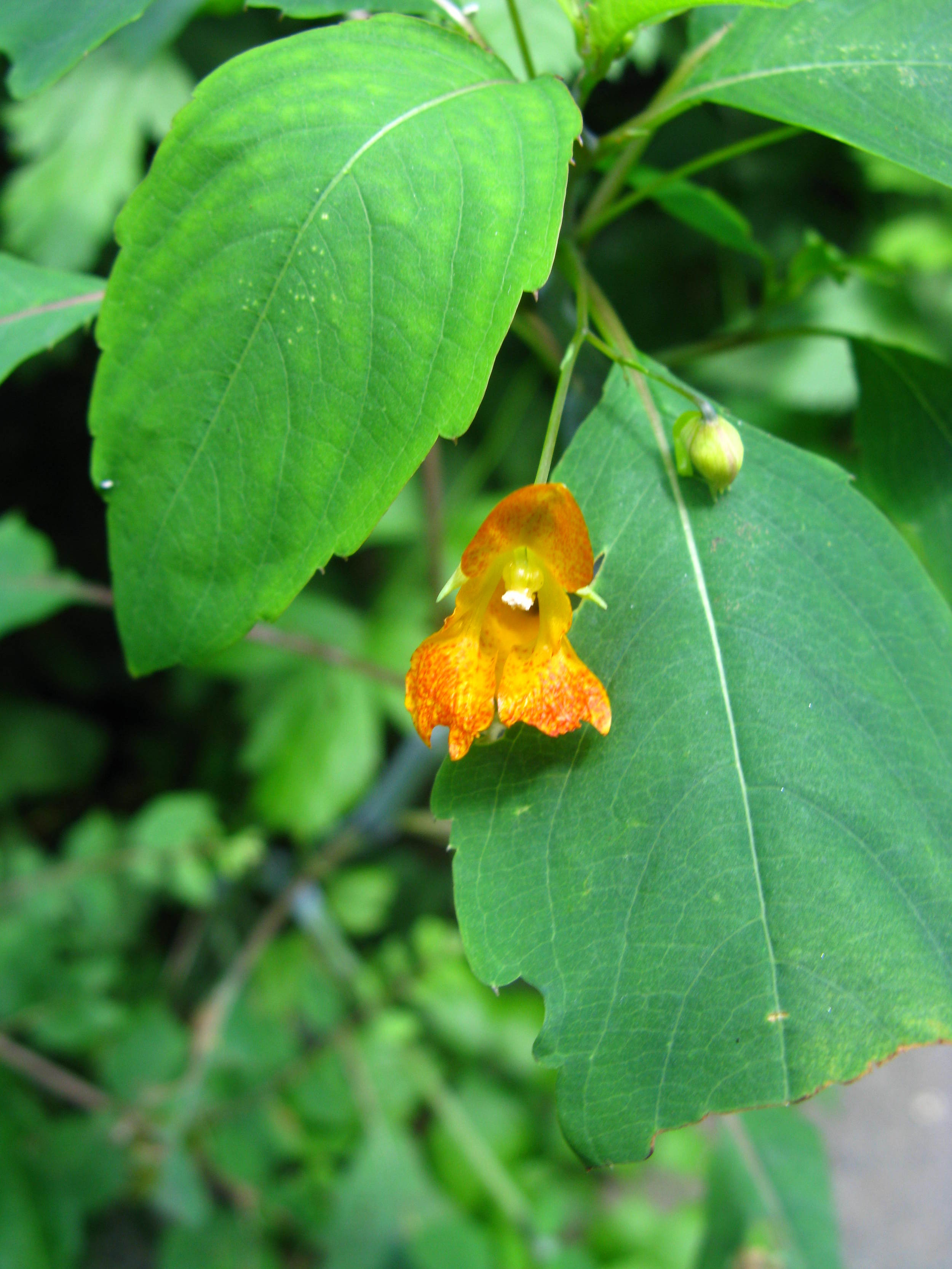 Impatiens capensis Balsaminaceae