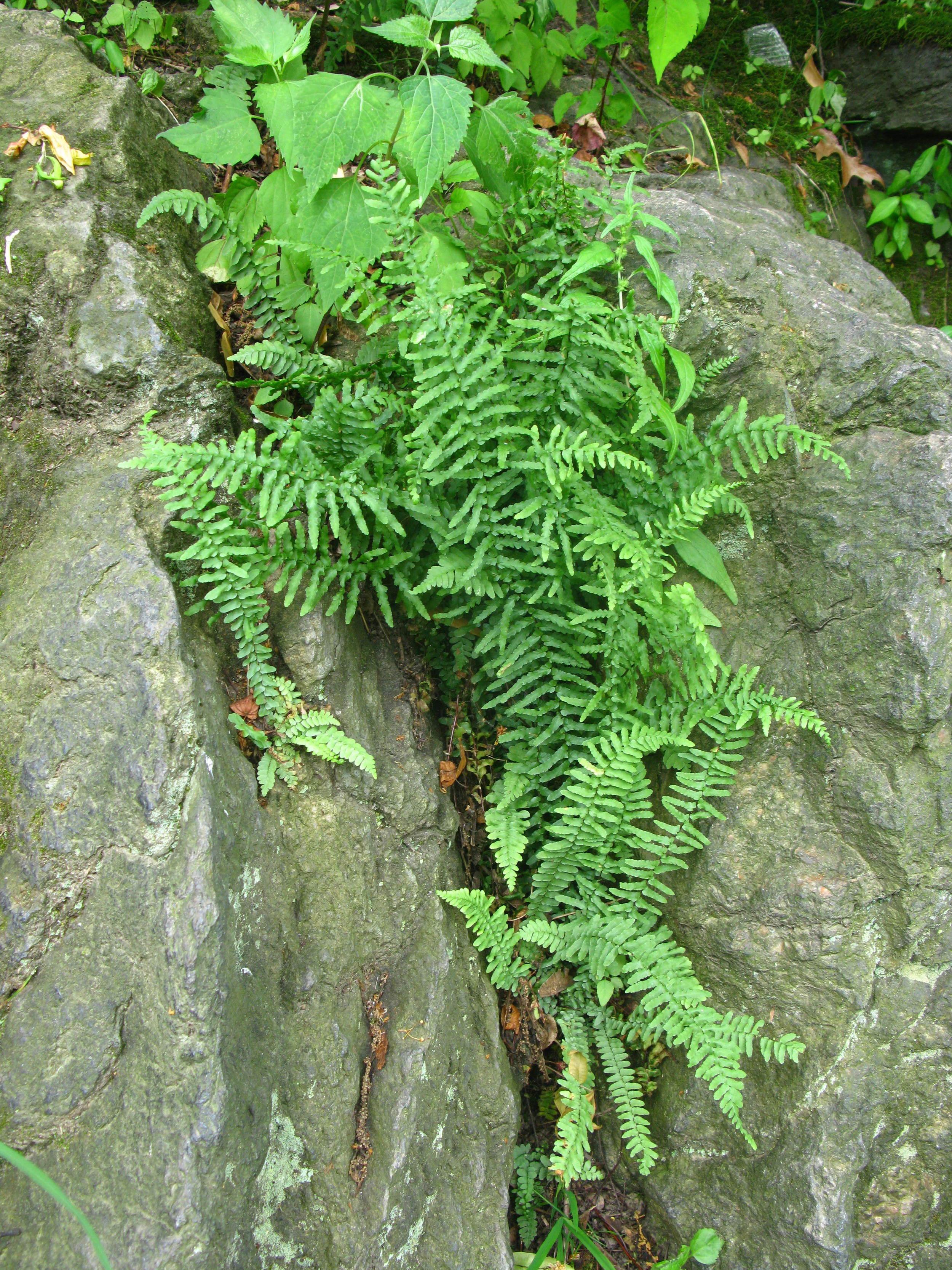 Asplenium platyneuron  Aspleniaceae
