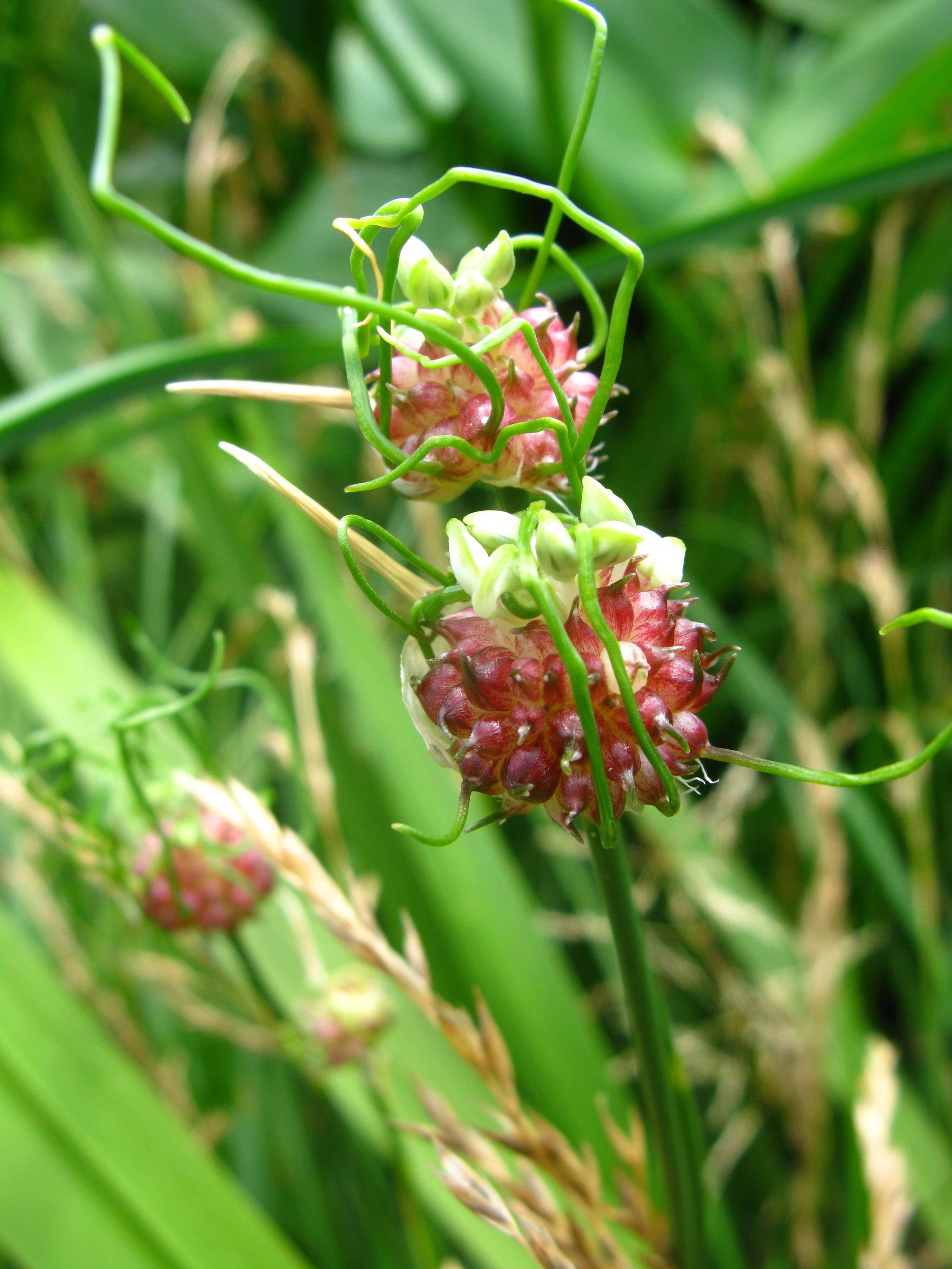 Allium vineale Liliaceae