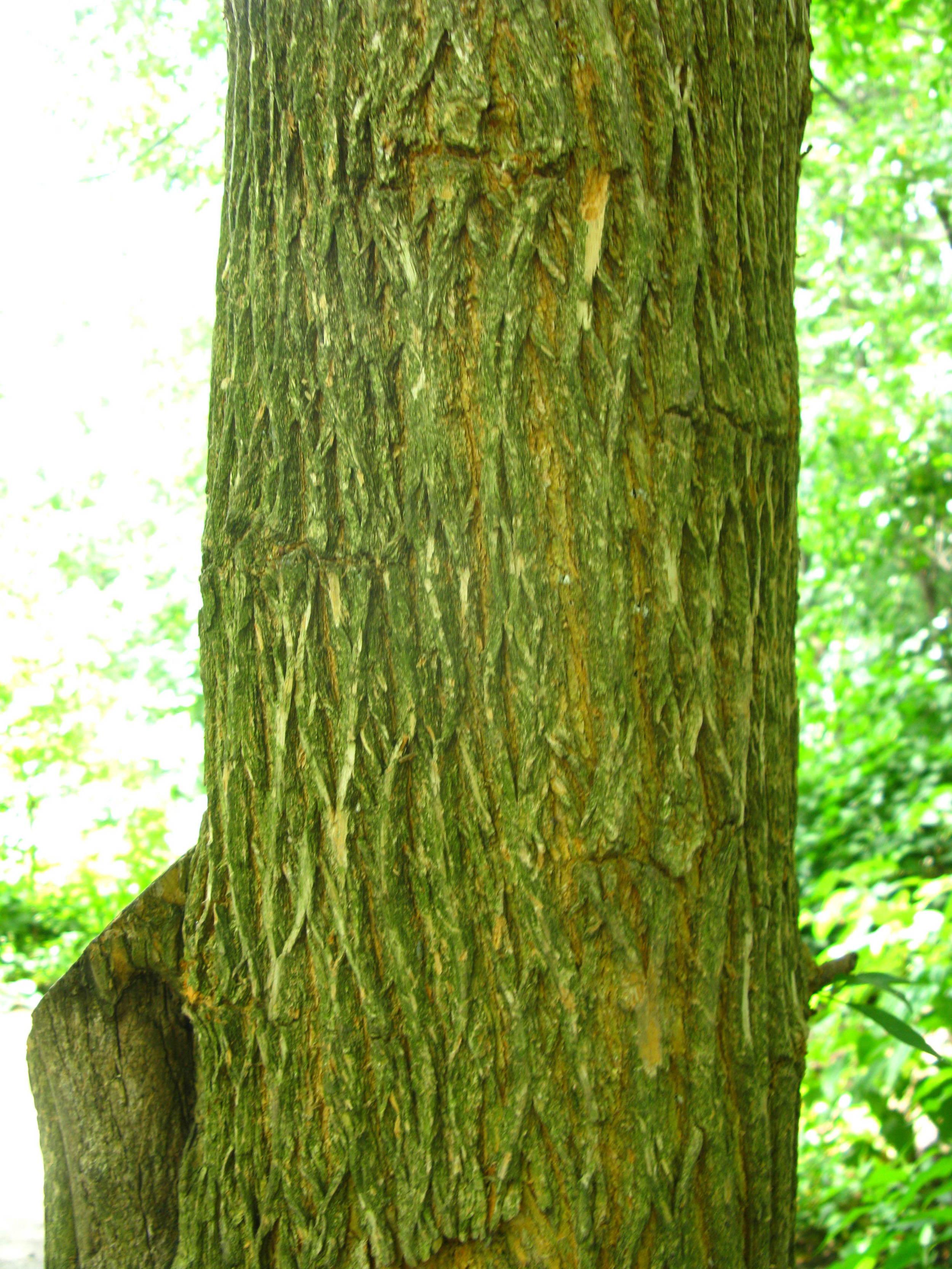 Maclura pomifera Moraceae