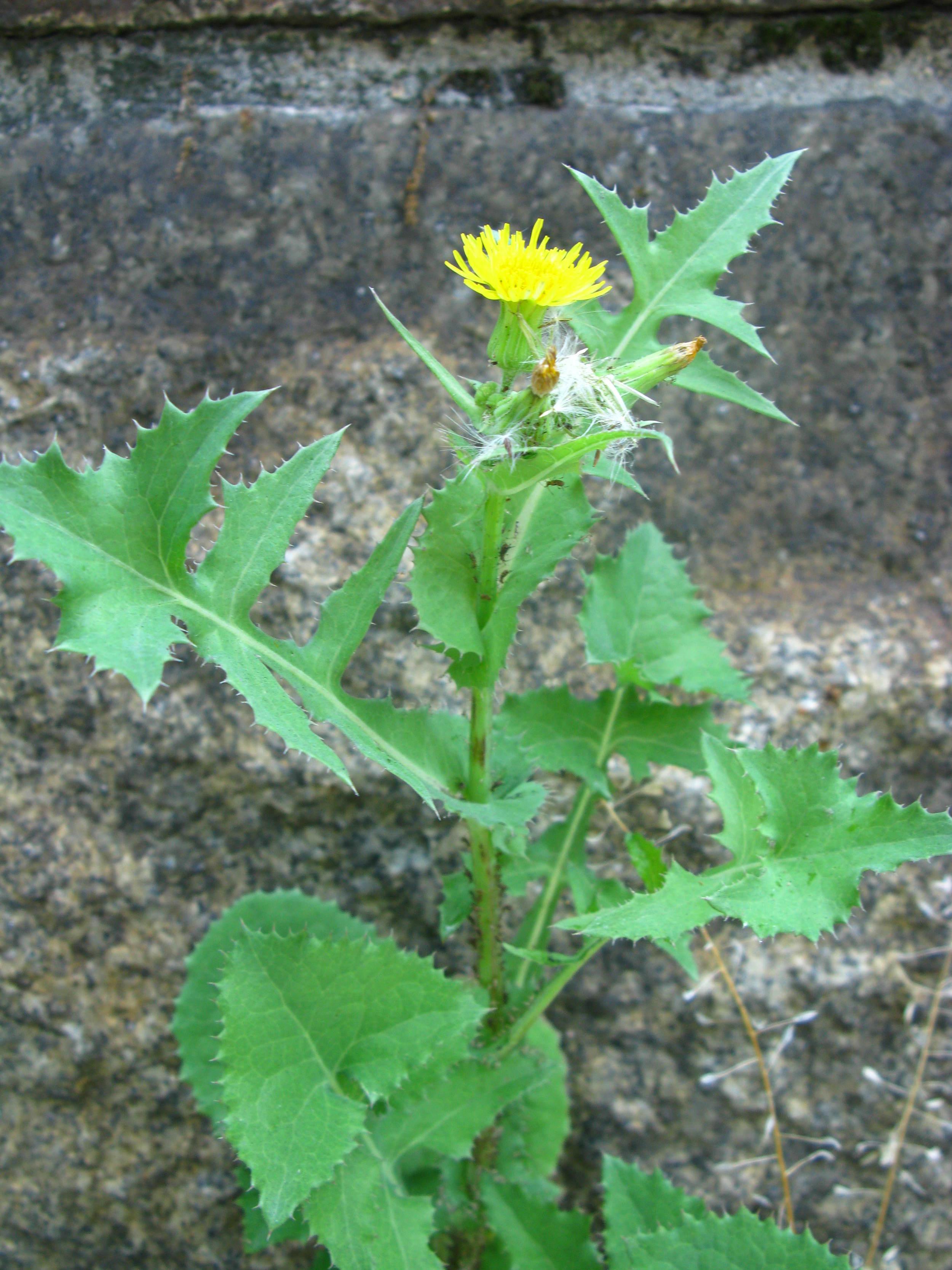 Sonchus asper Asteraceae