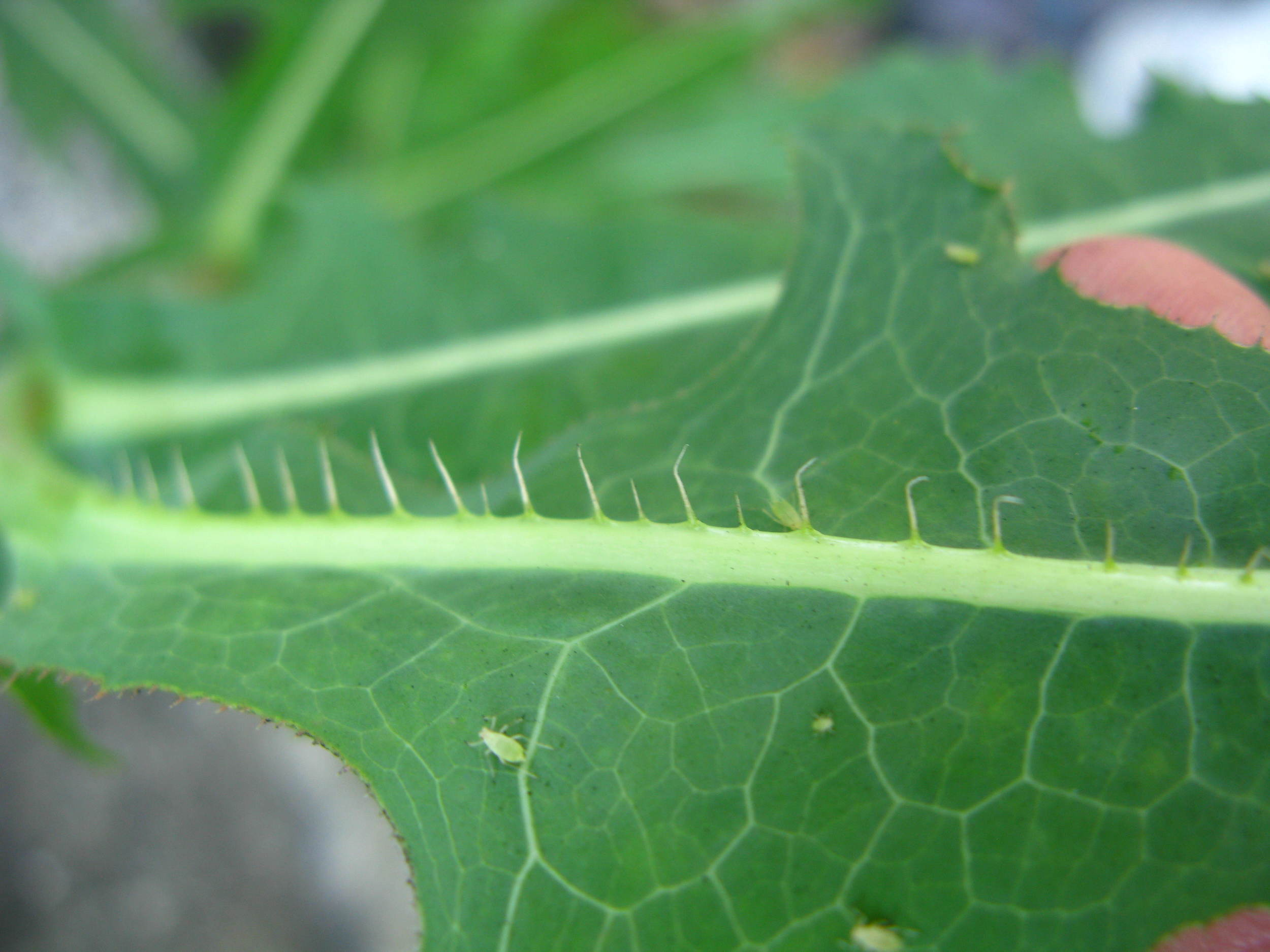 Sonchus oleraceus Asteraceae