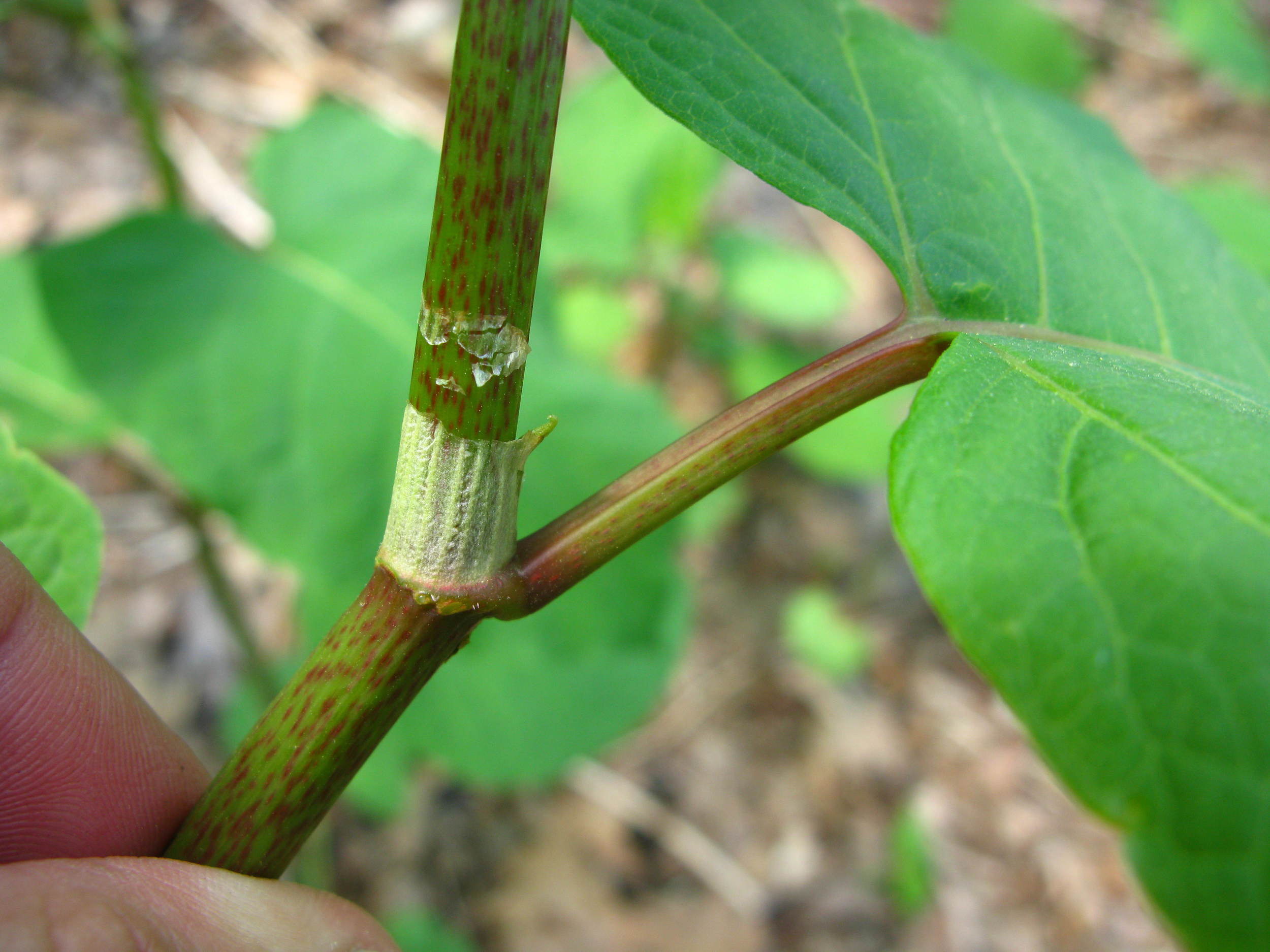 Ocrea - sheath at node typical of Polygonaceae