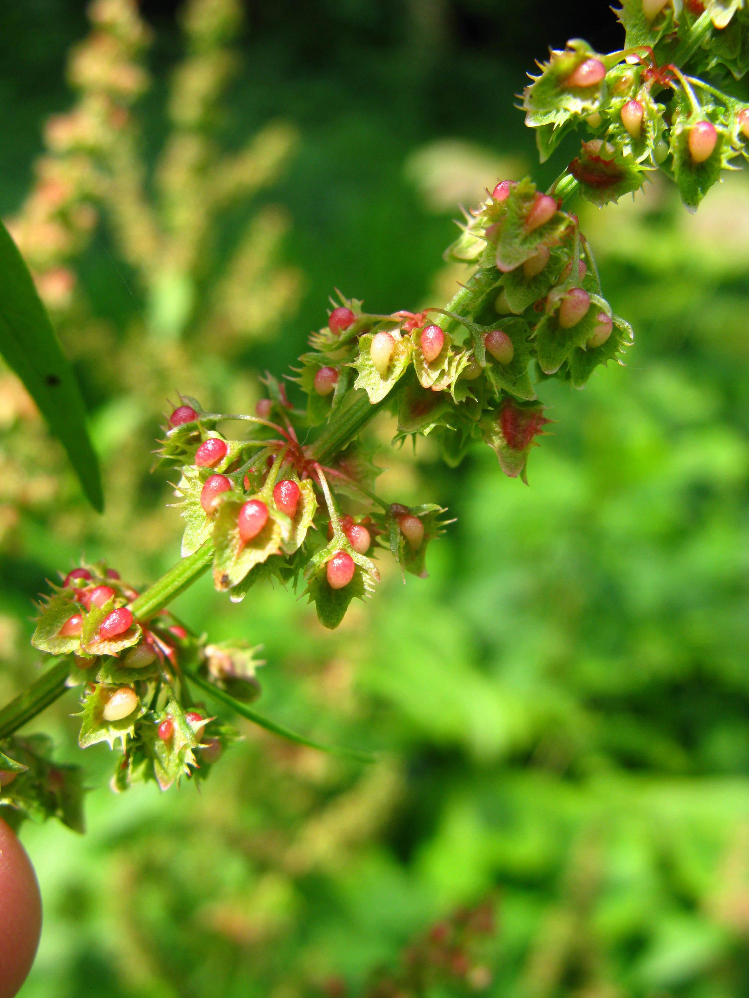 Rumex crispus Polygonaceae