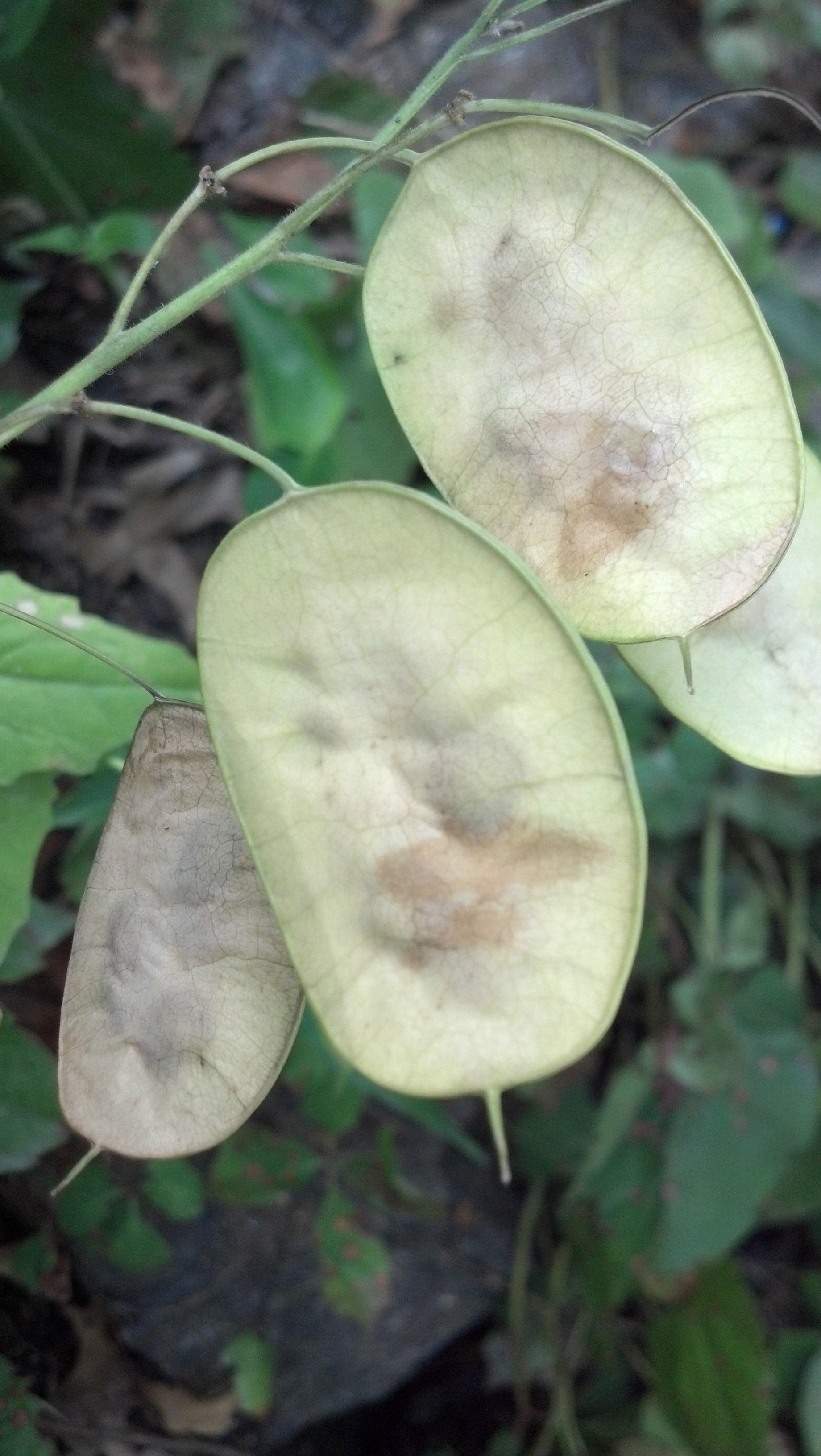 Lunaria annua Brassicaceae