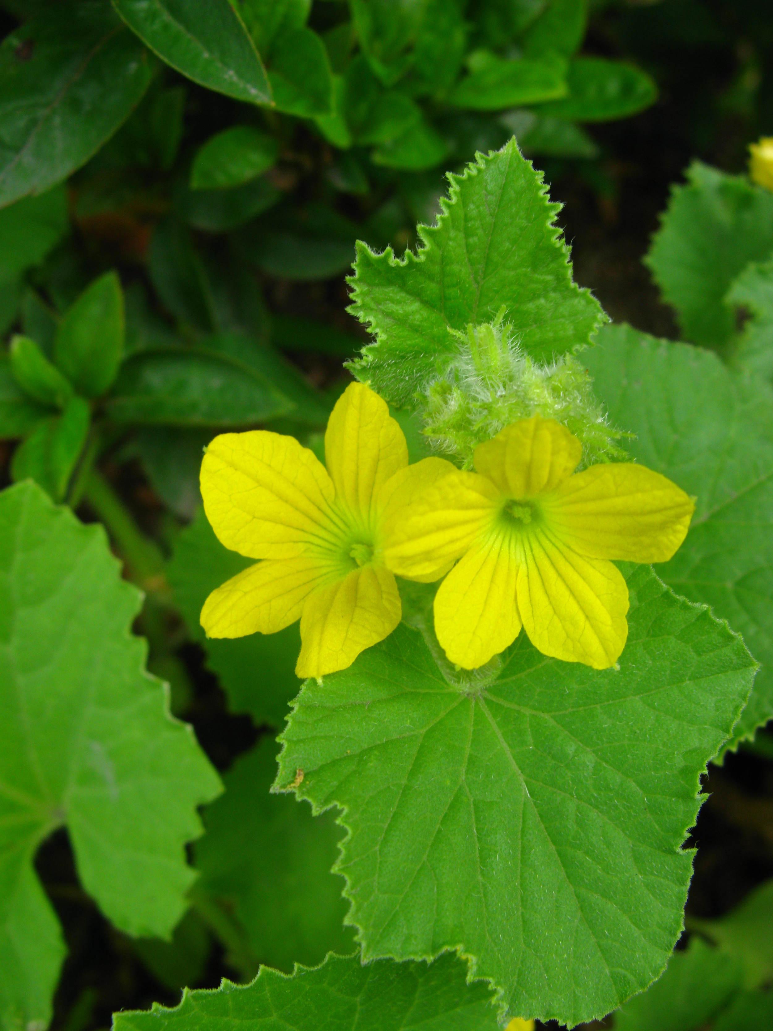 Cucumis melo Curcurbitaceae