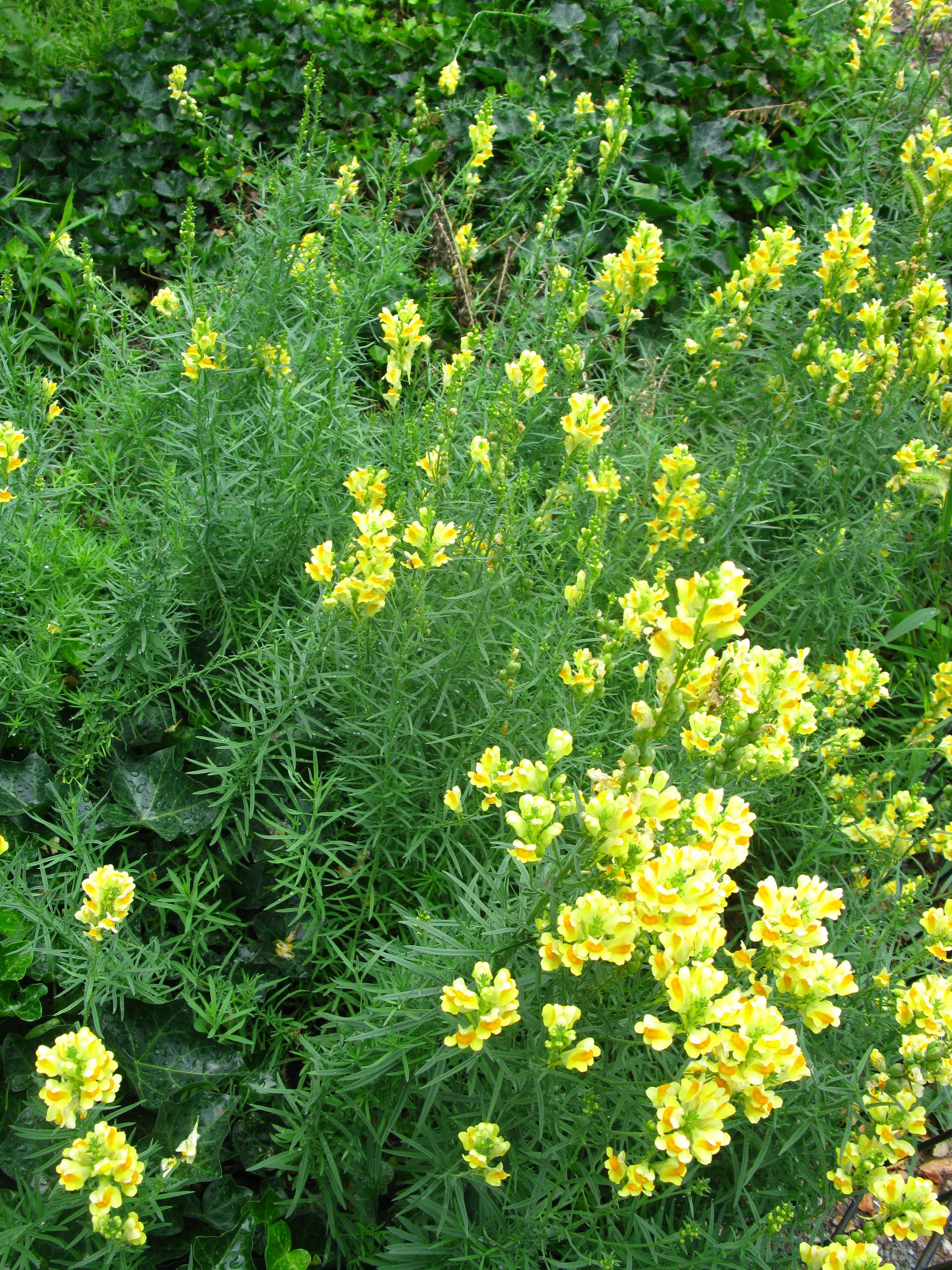 Linaria vulgaris Scrophulariaceae