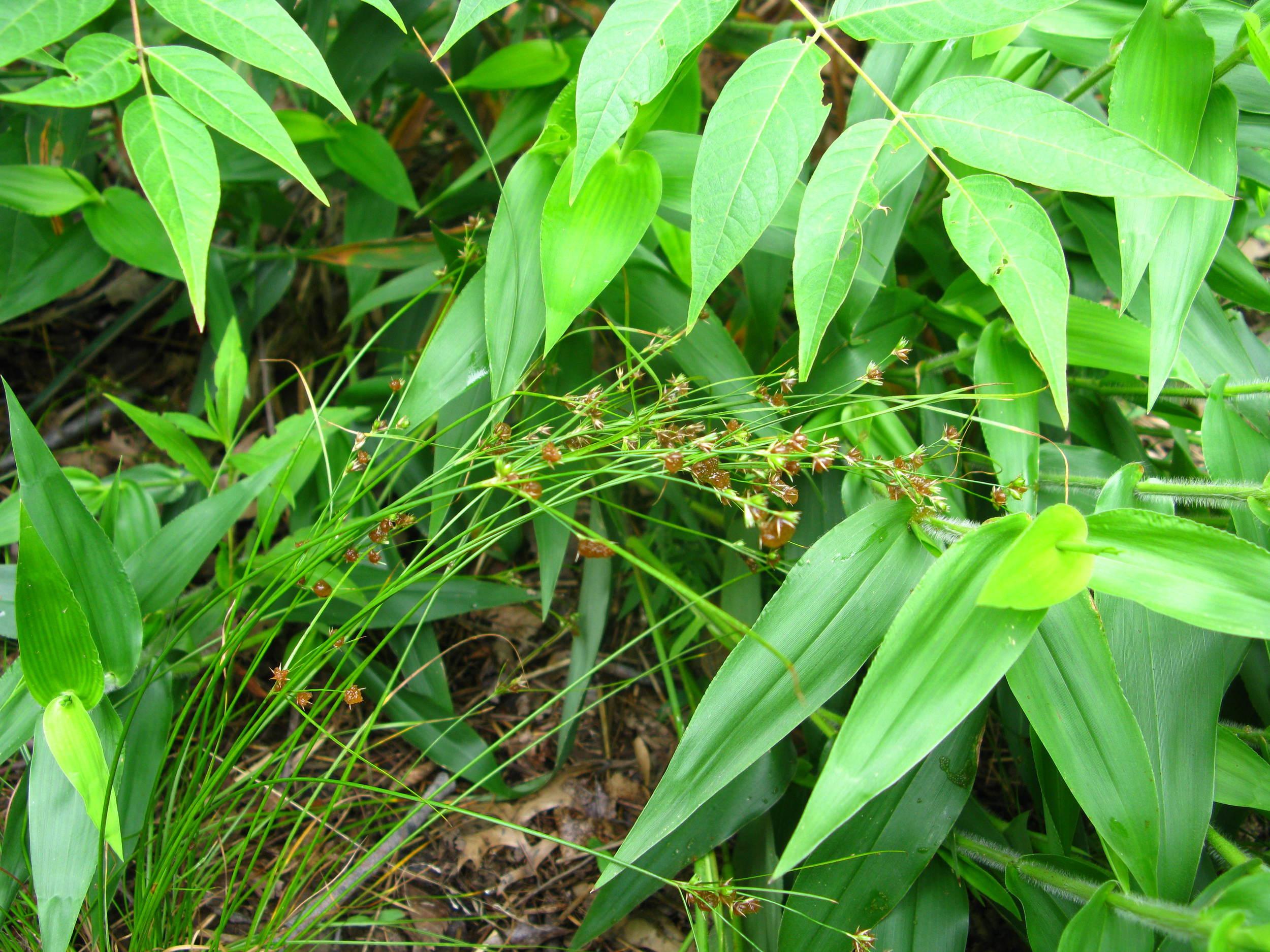 Juncus sp. Juncaceae