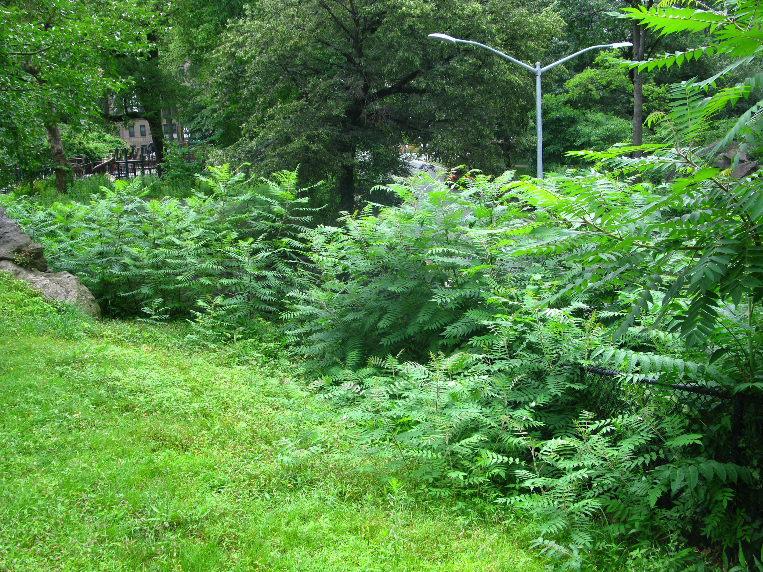 Rhus glabra Anacardiaceae