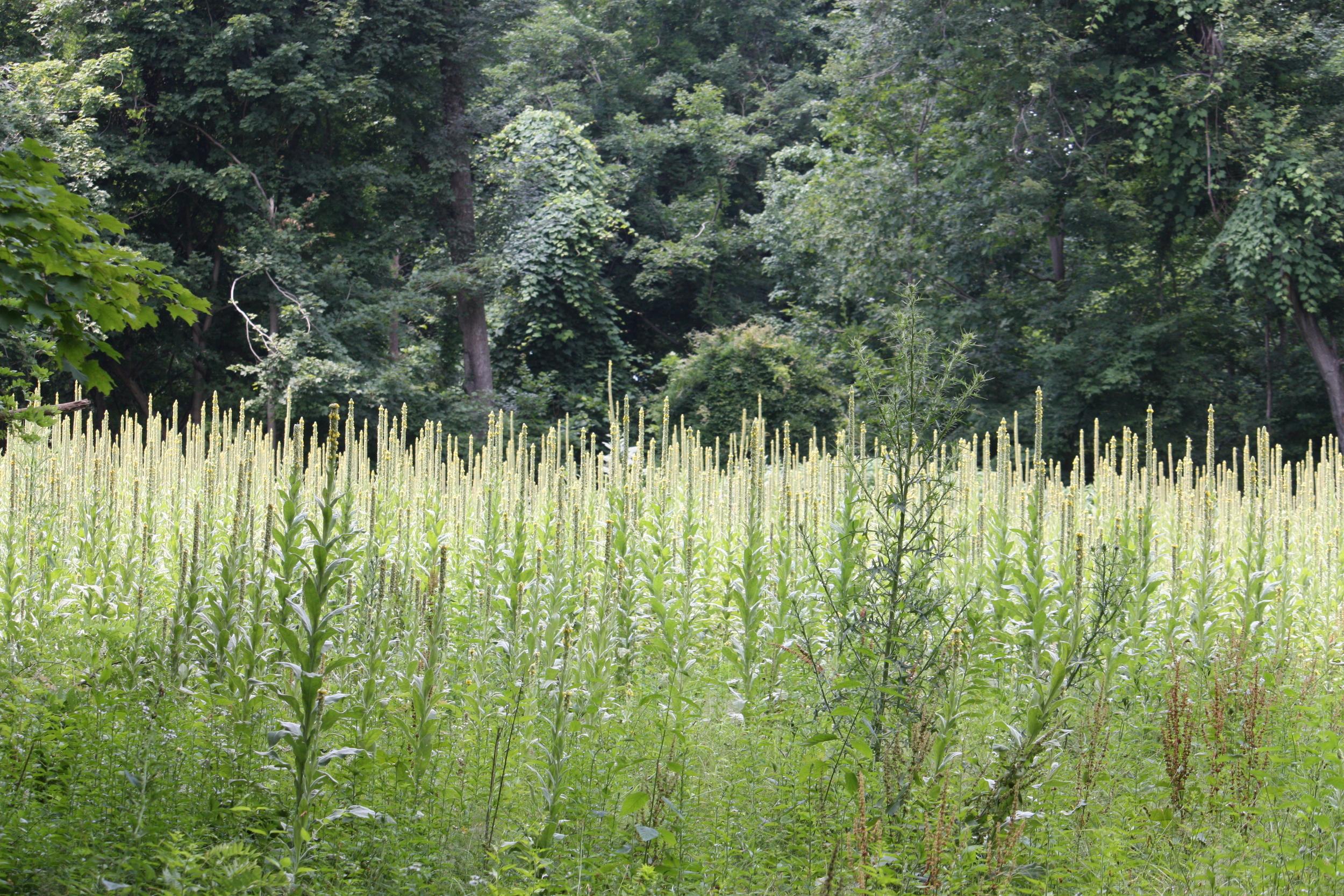 Field of mullein  Photo by Hubert Urruttia