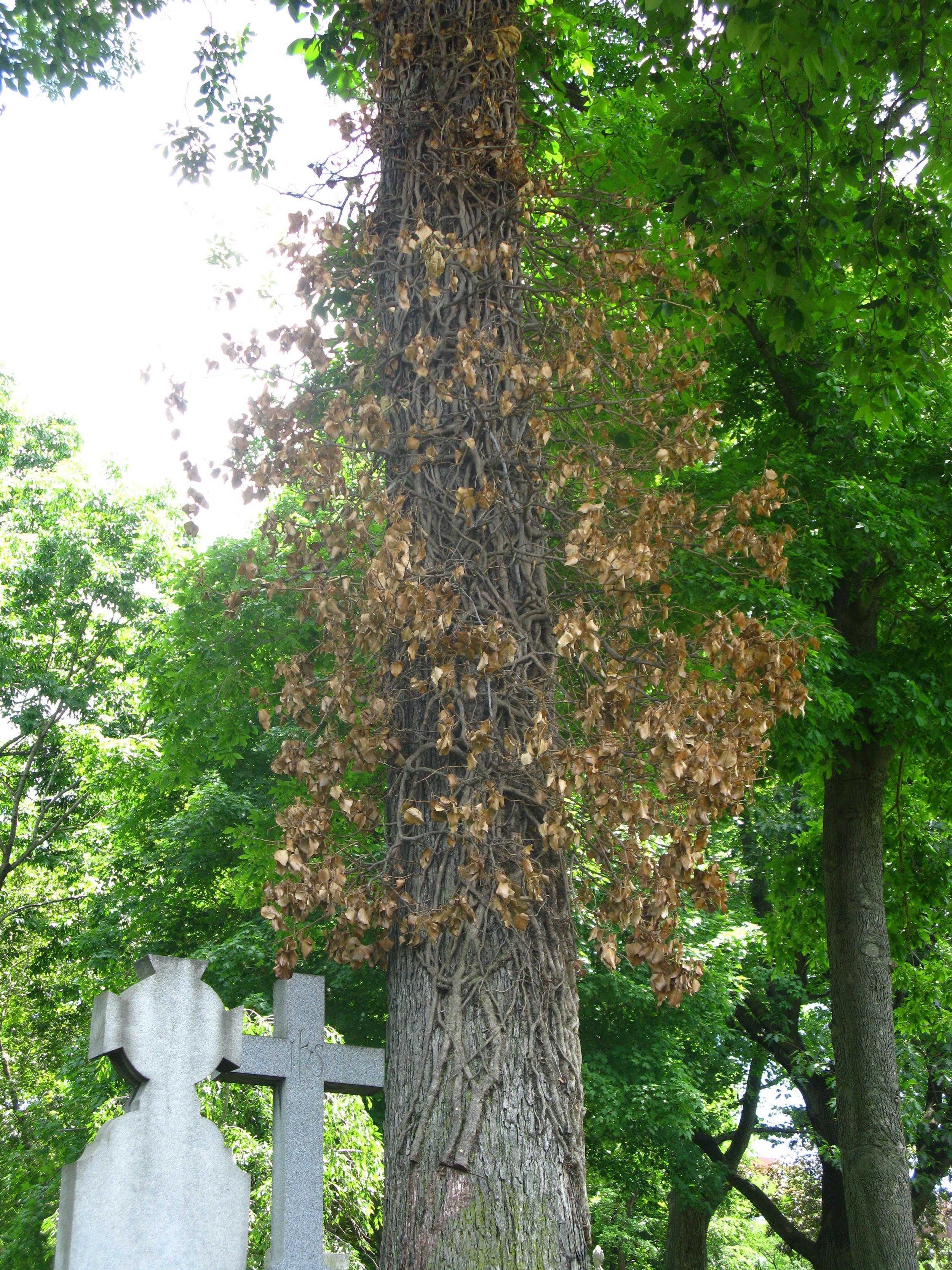 Toxicodendron radicans Anacardiaceae