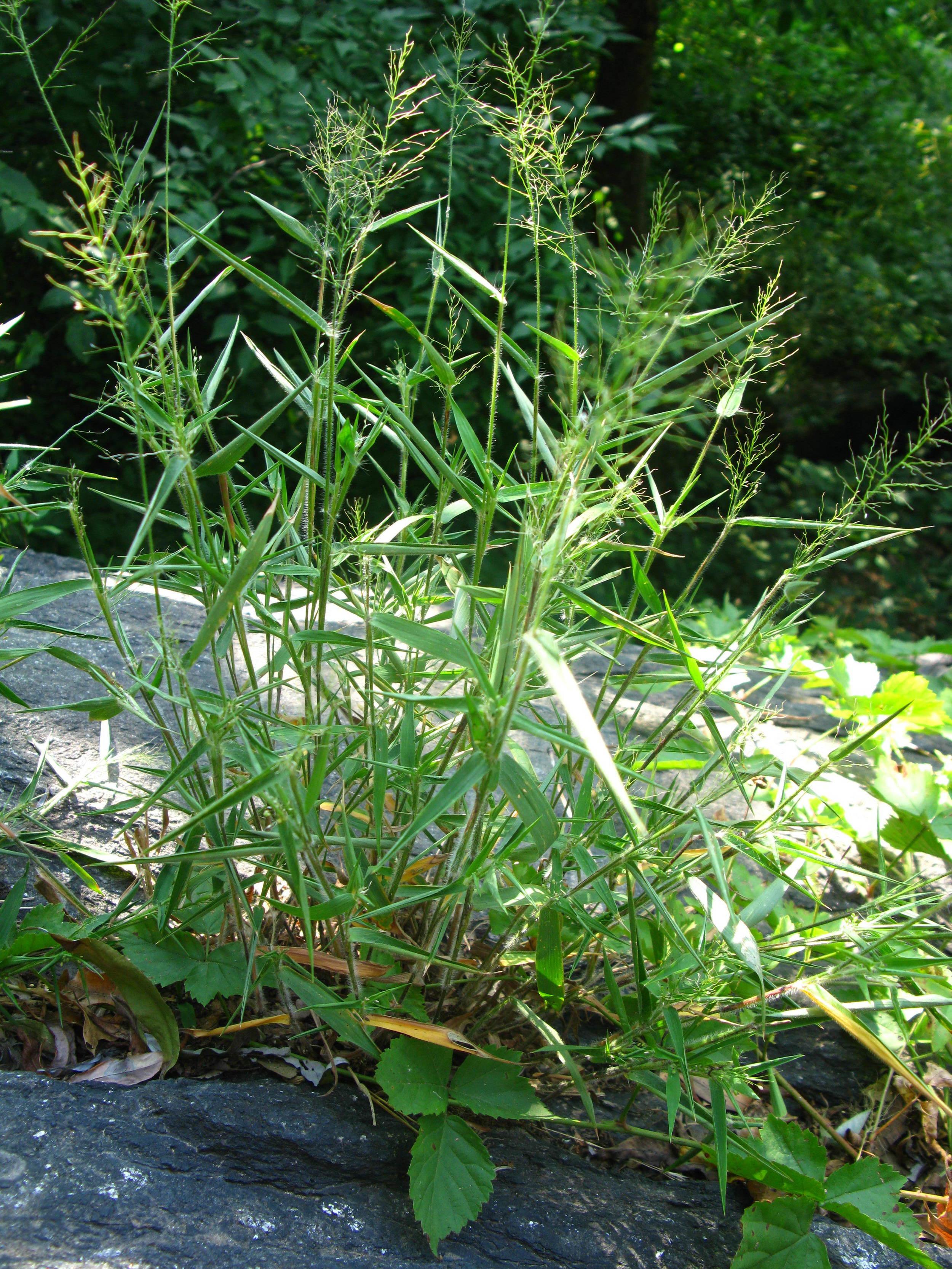 Dichanthelium sp. Poaceae