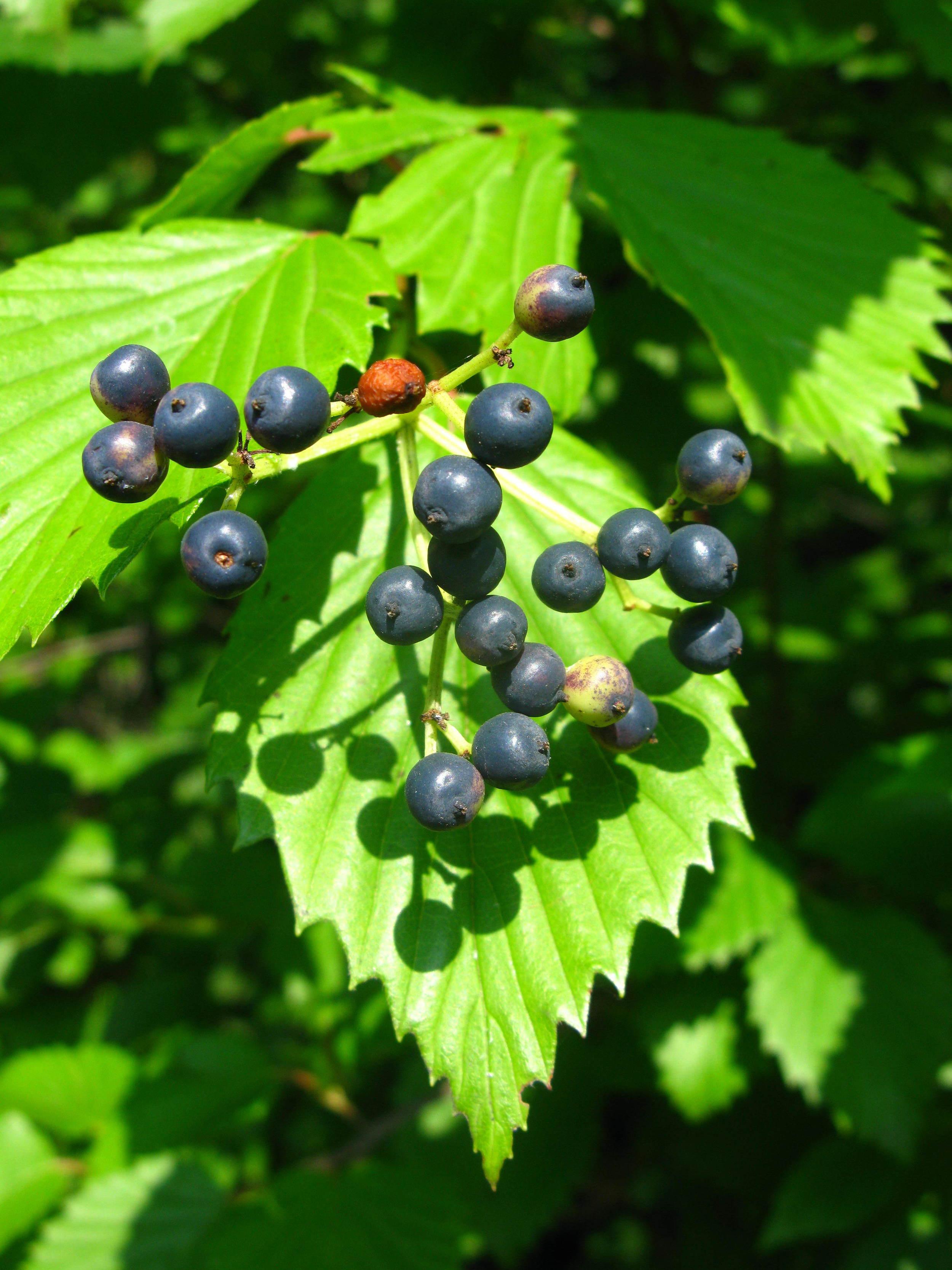 Viburnum dentatum Adoxaceae