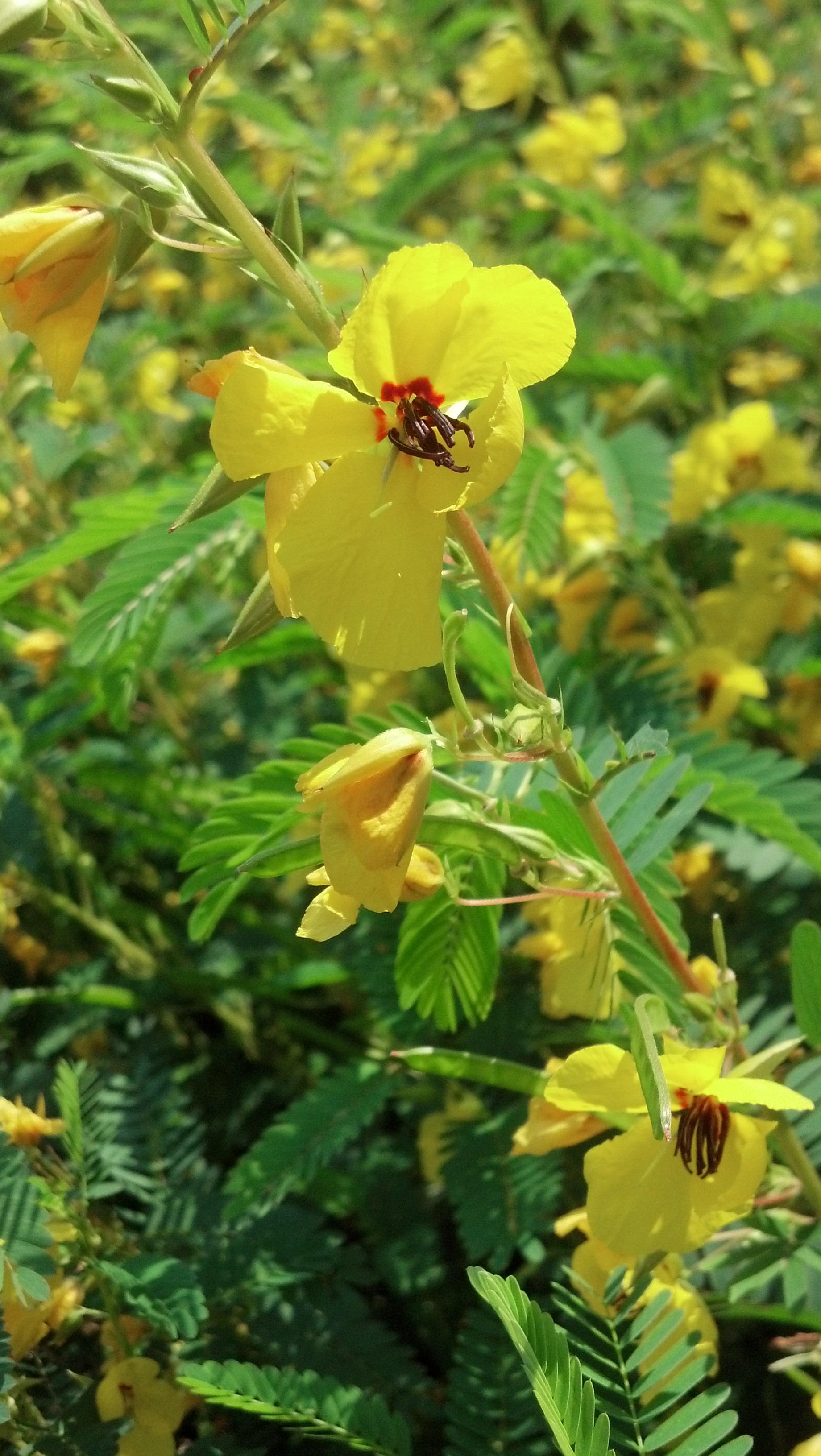 Chamaecrista fasciculata Fabaceae