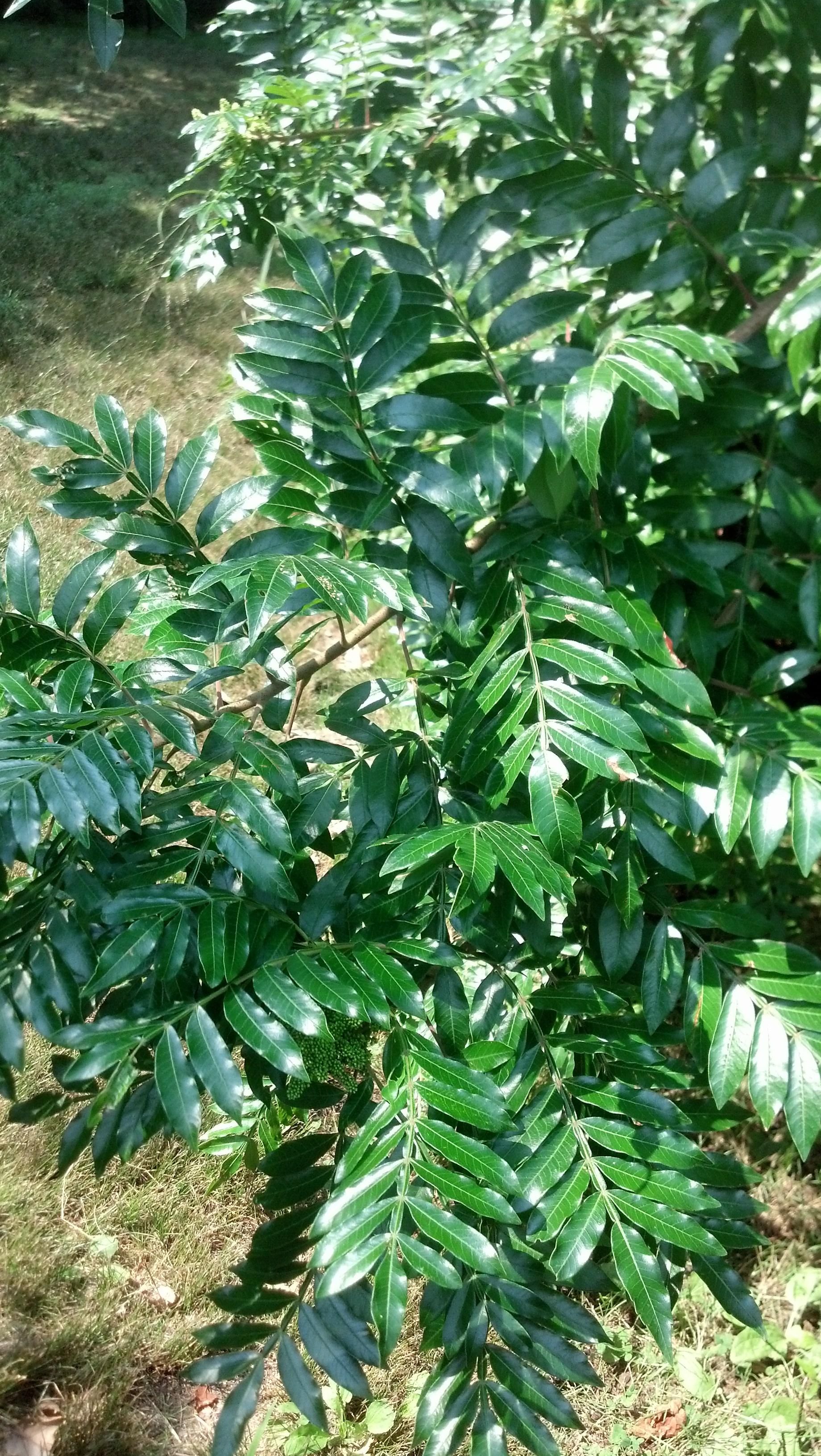 Rhus coppalinum Anacardiaceae