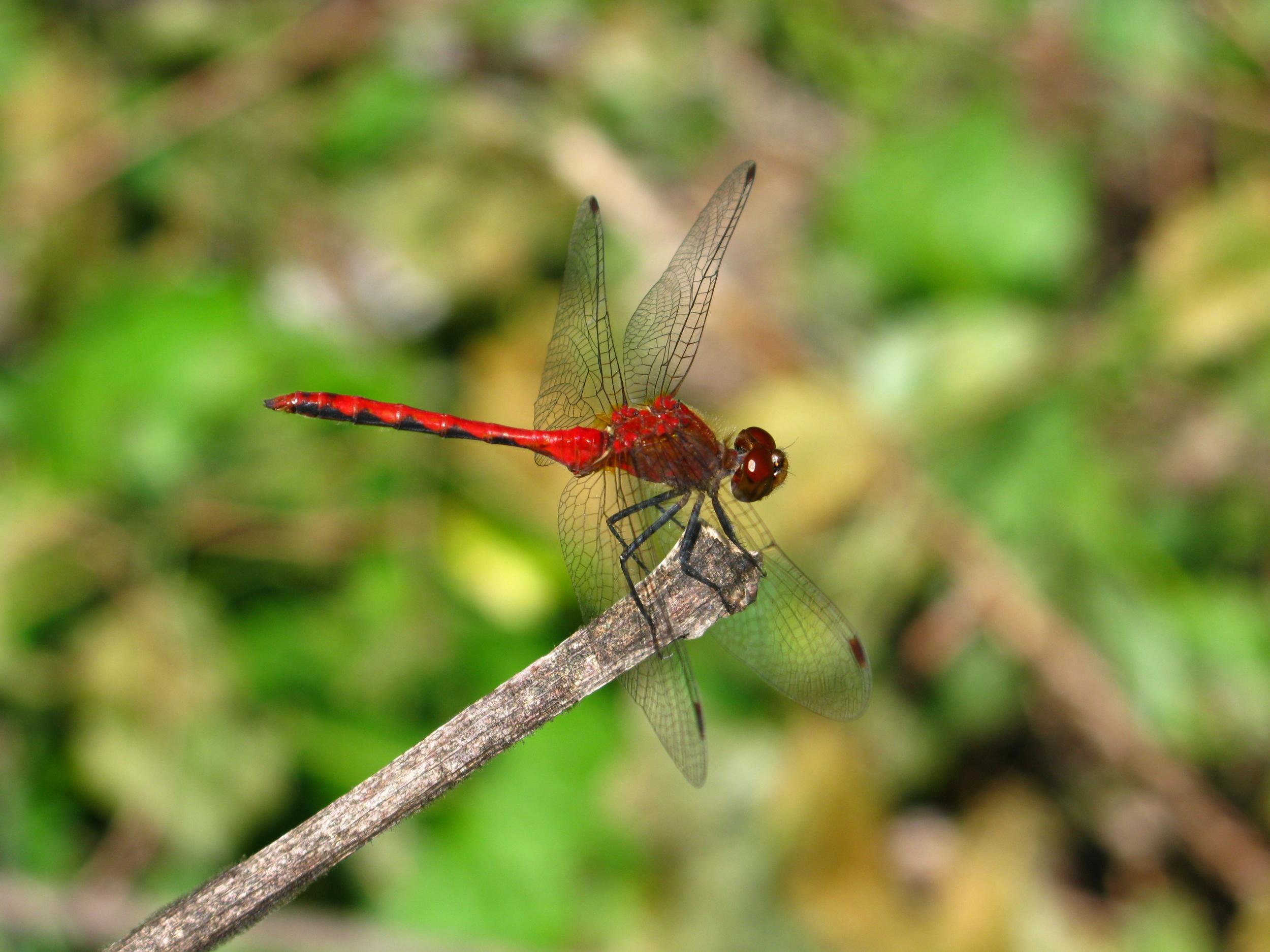 Ruby meadowhawk  Sympetrum rubicundulum
