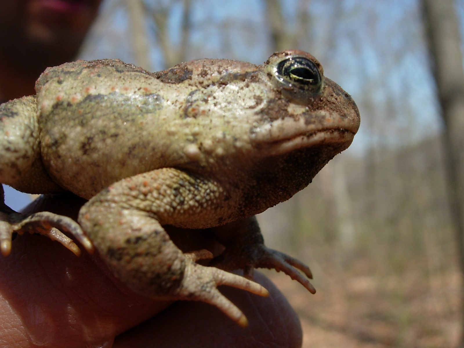 Fowler's toad Bubo fowleri