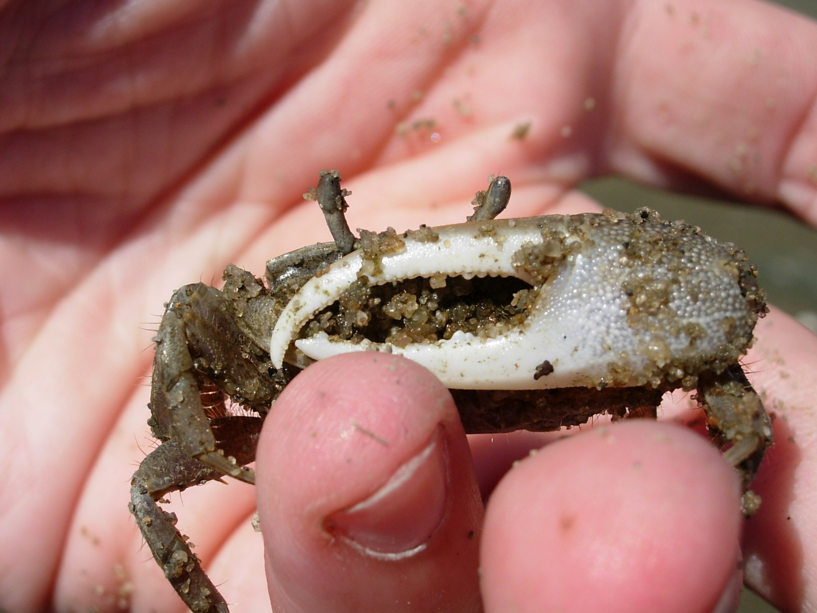Fiddler crab Uca sp.