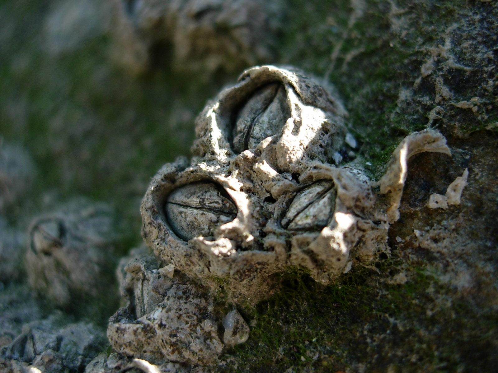 Barnacles Semibalanus balanoides