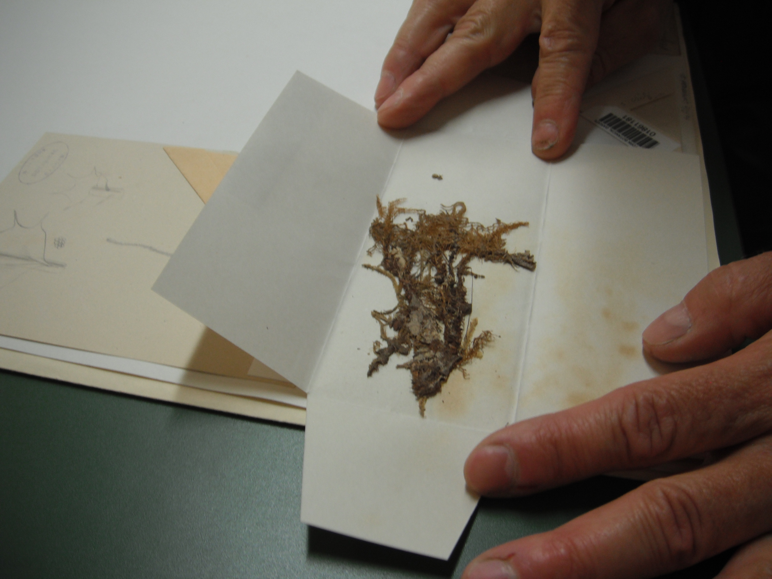 A moss collected by Darwin