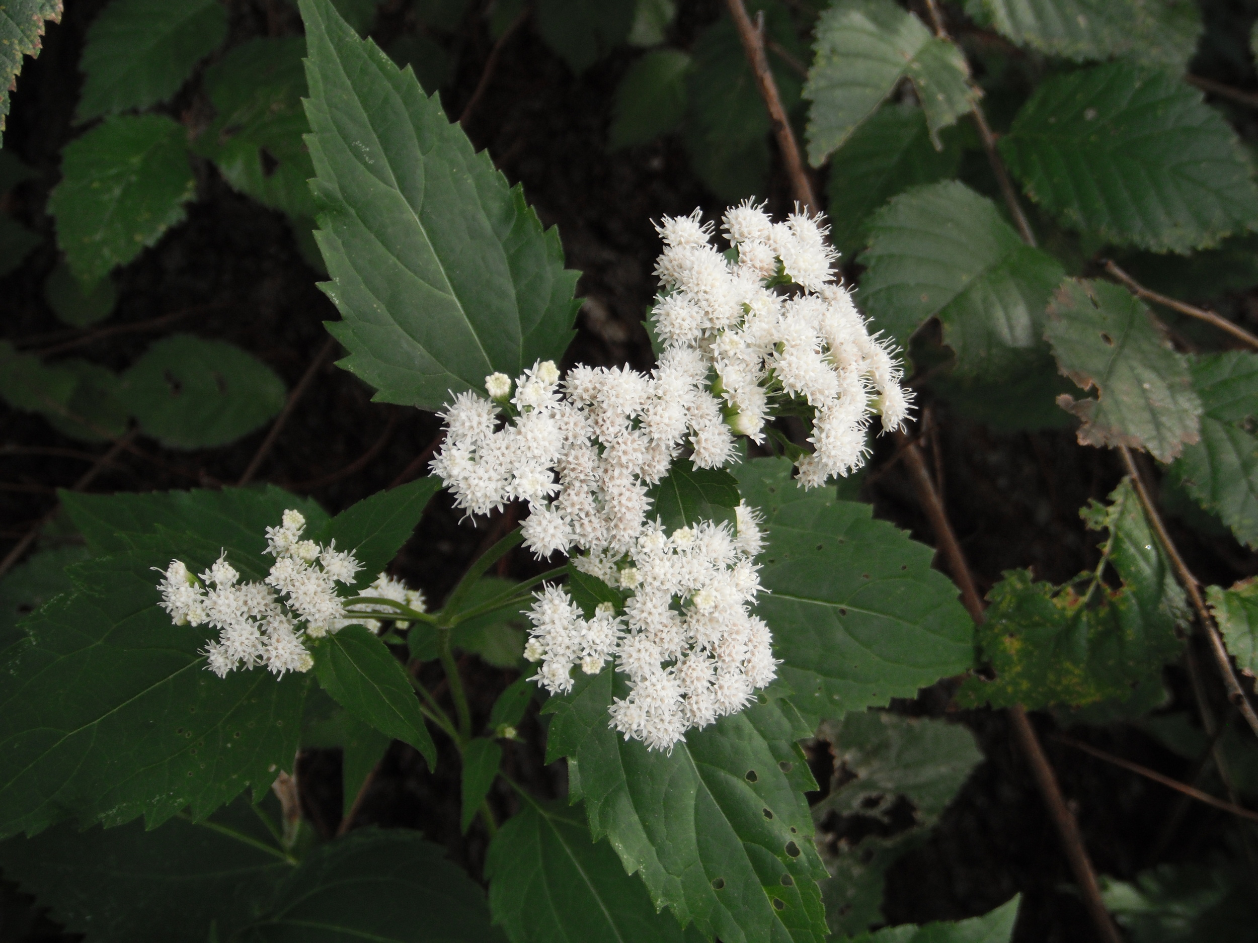 Ageratina altissima  (Asteraceae) White snakeroot