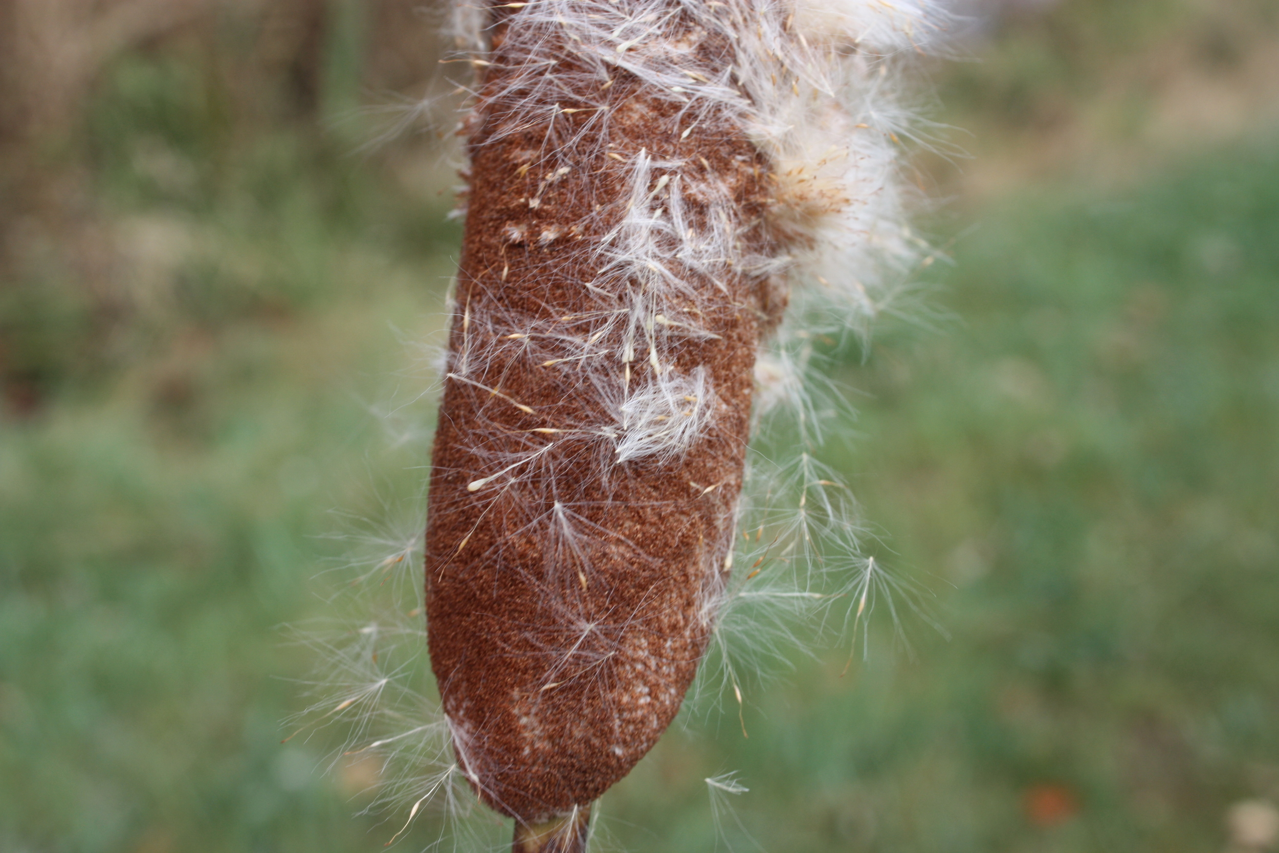 Typha  seeds are each up to 1.5mm long (USDA Forest Service database)