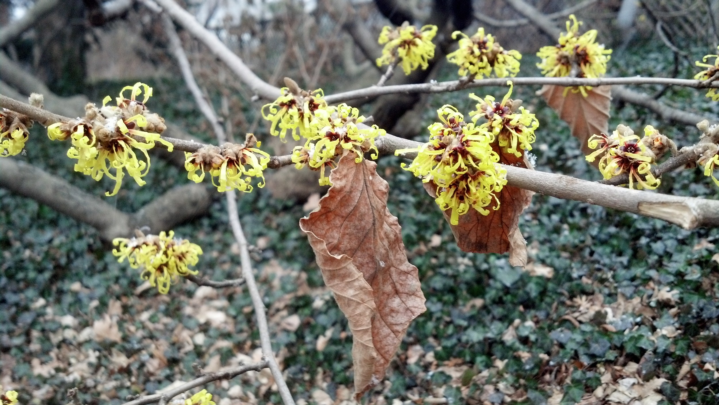 Hamamelis mollis Hamamelidaceae Chinese witch hazel