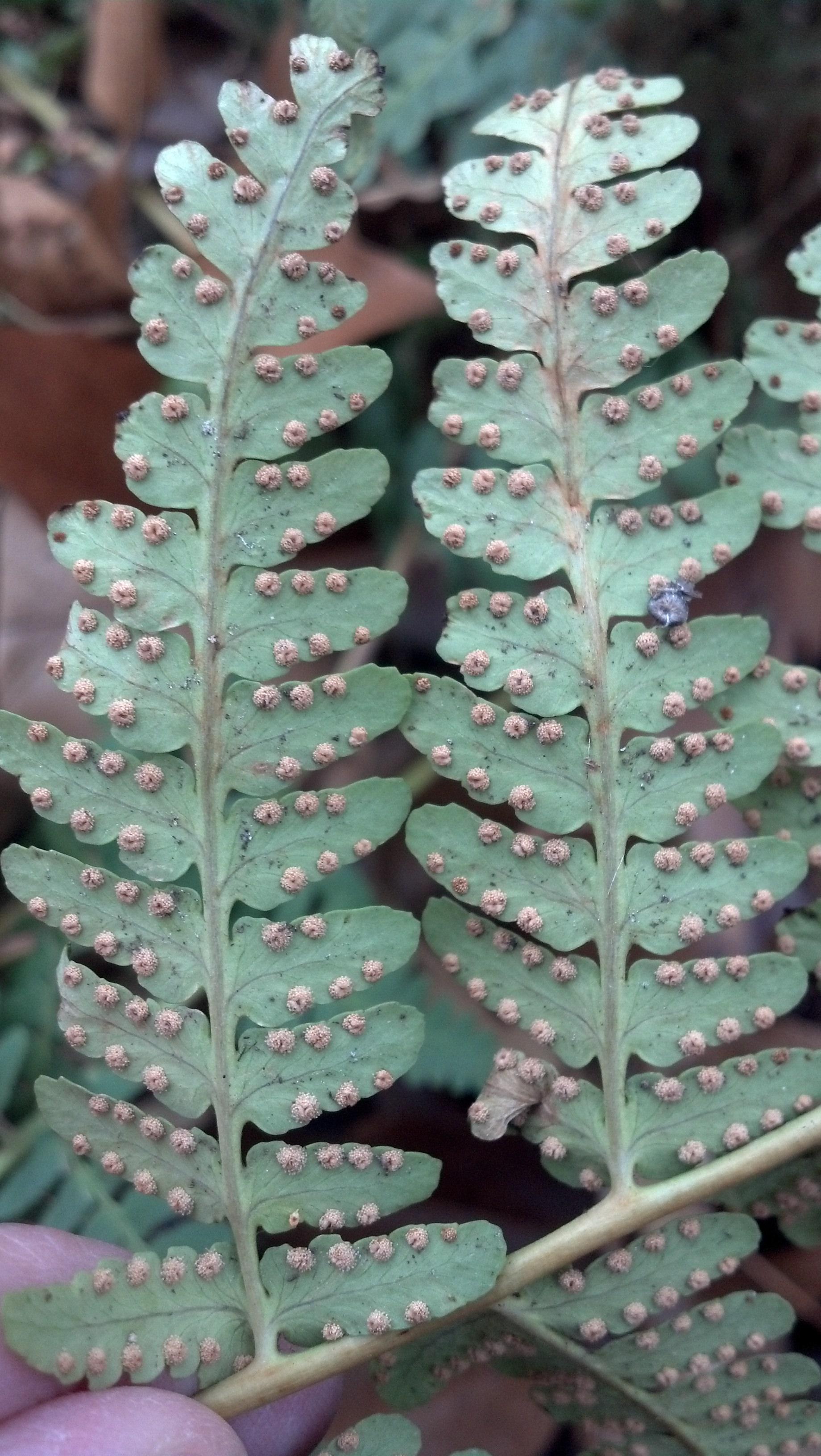 Dryopteris marginalis Dryopteridaceae, marginal wood fern