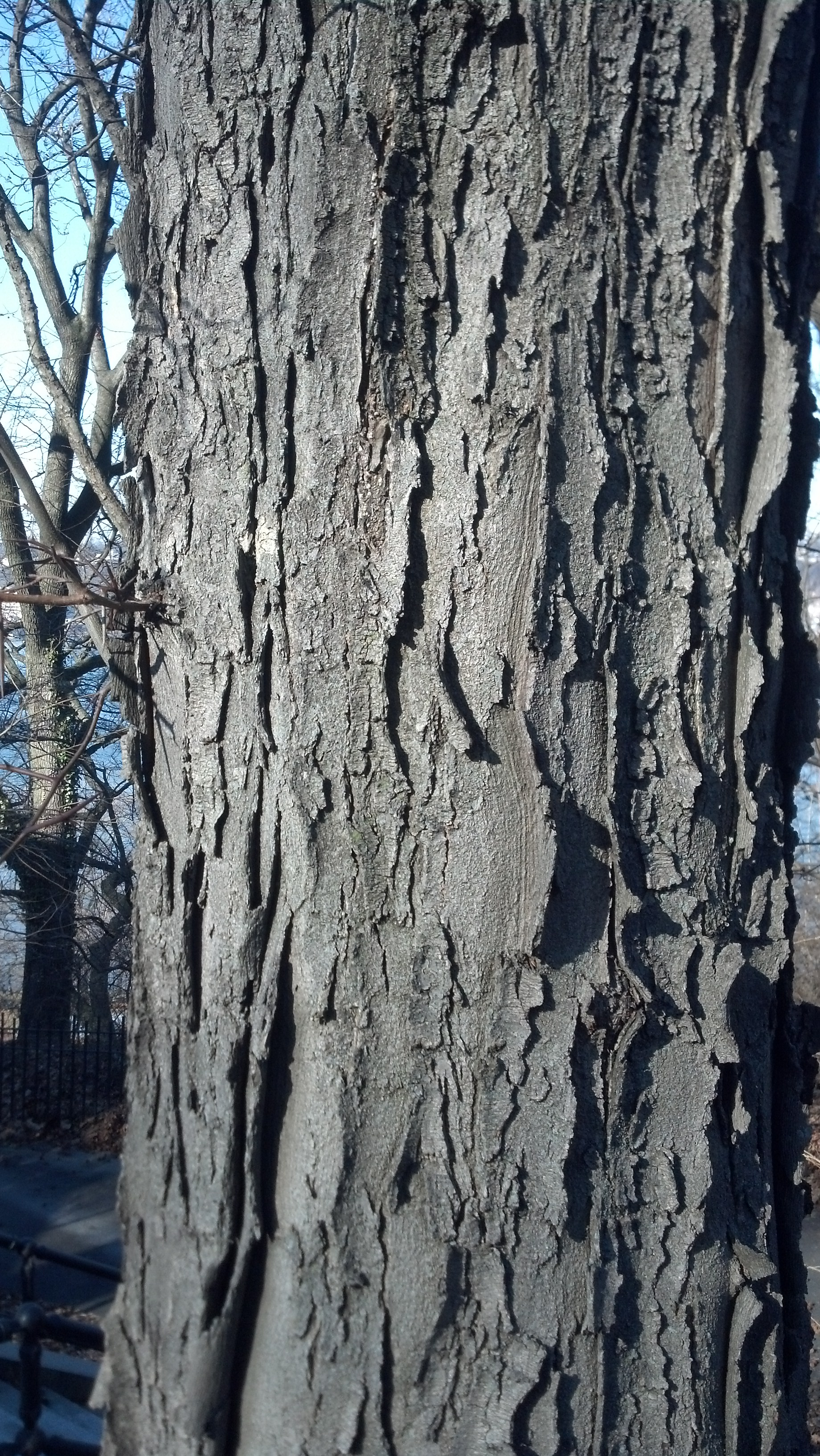 Honey locust bark