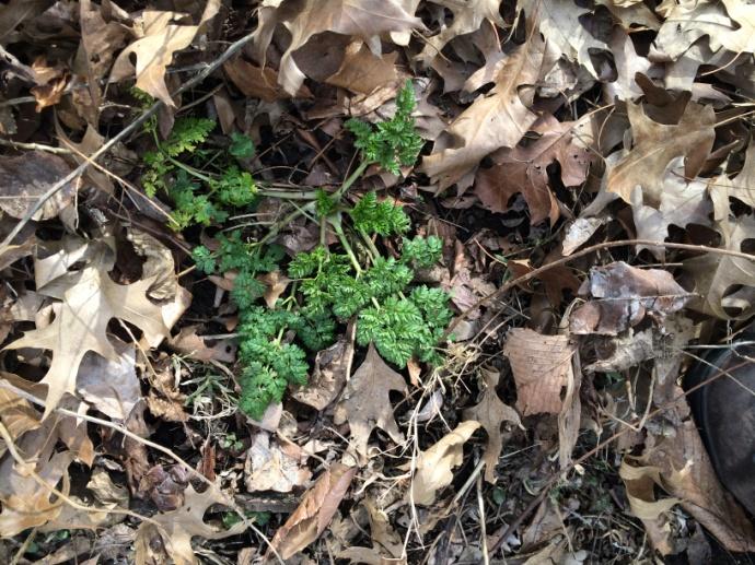 Apiaceae Photo by Daniel Atha