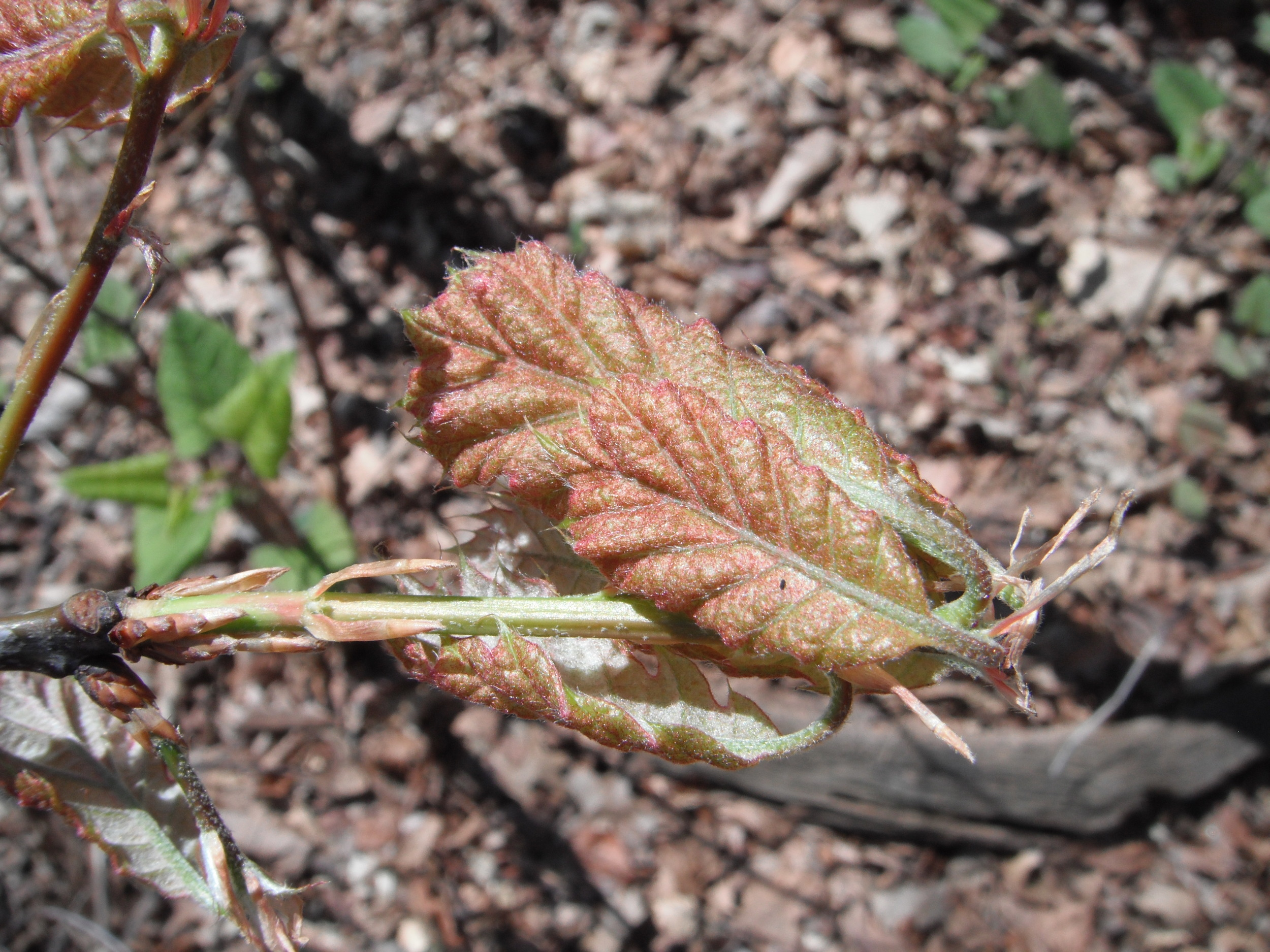 Quercus rubra Red oakFagaceae