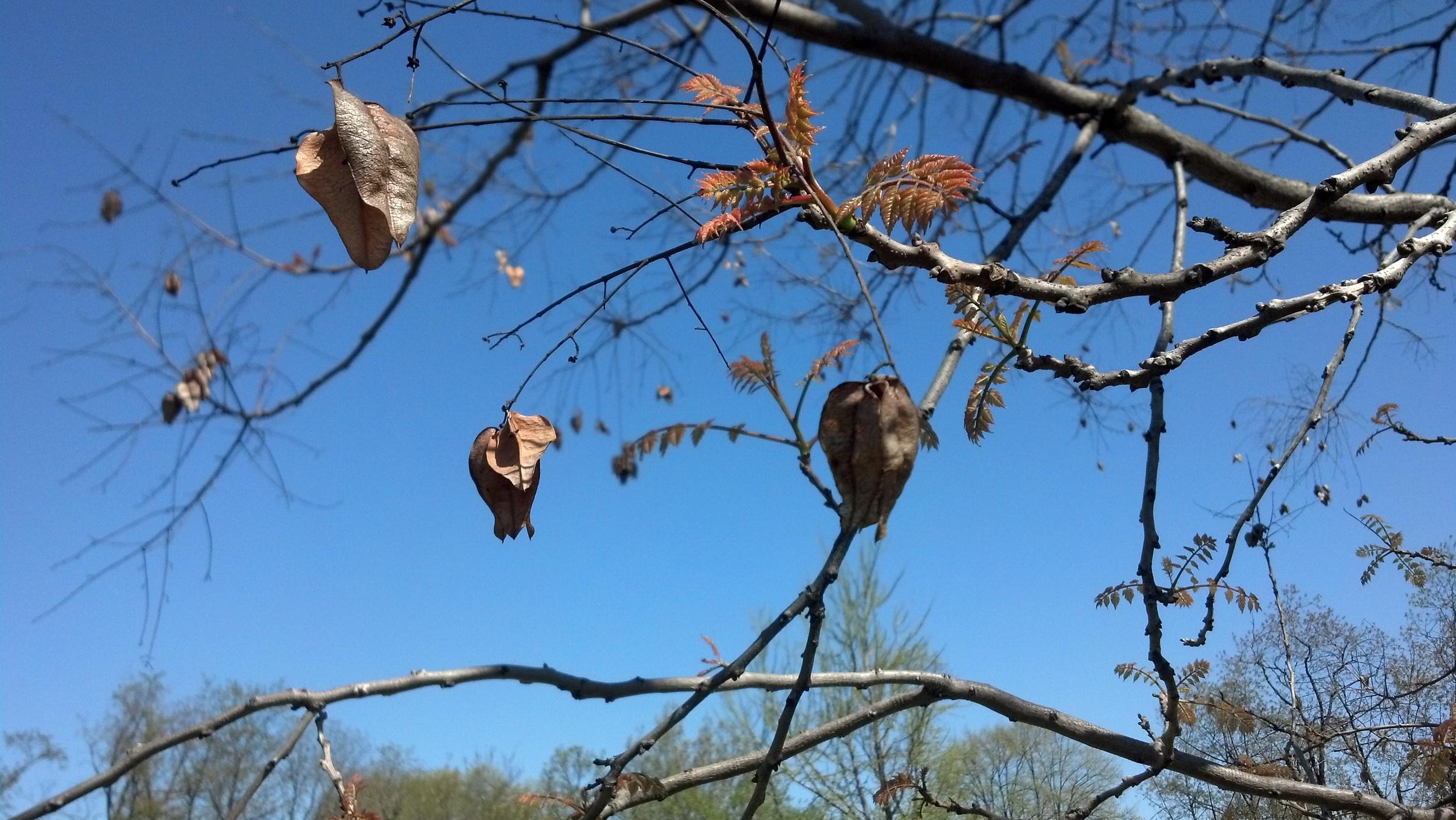 Koelreuteria paniculata  Sapindaceae Goldenrain tree - last season's fruit