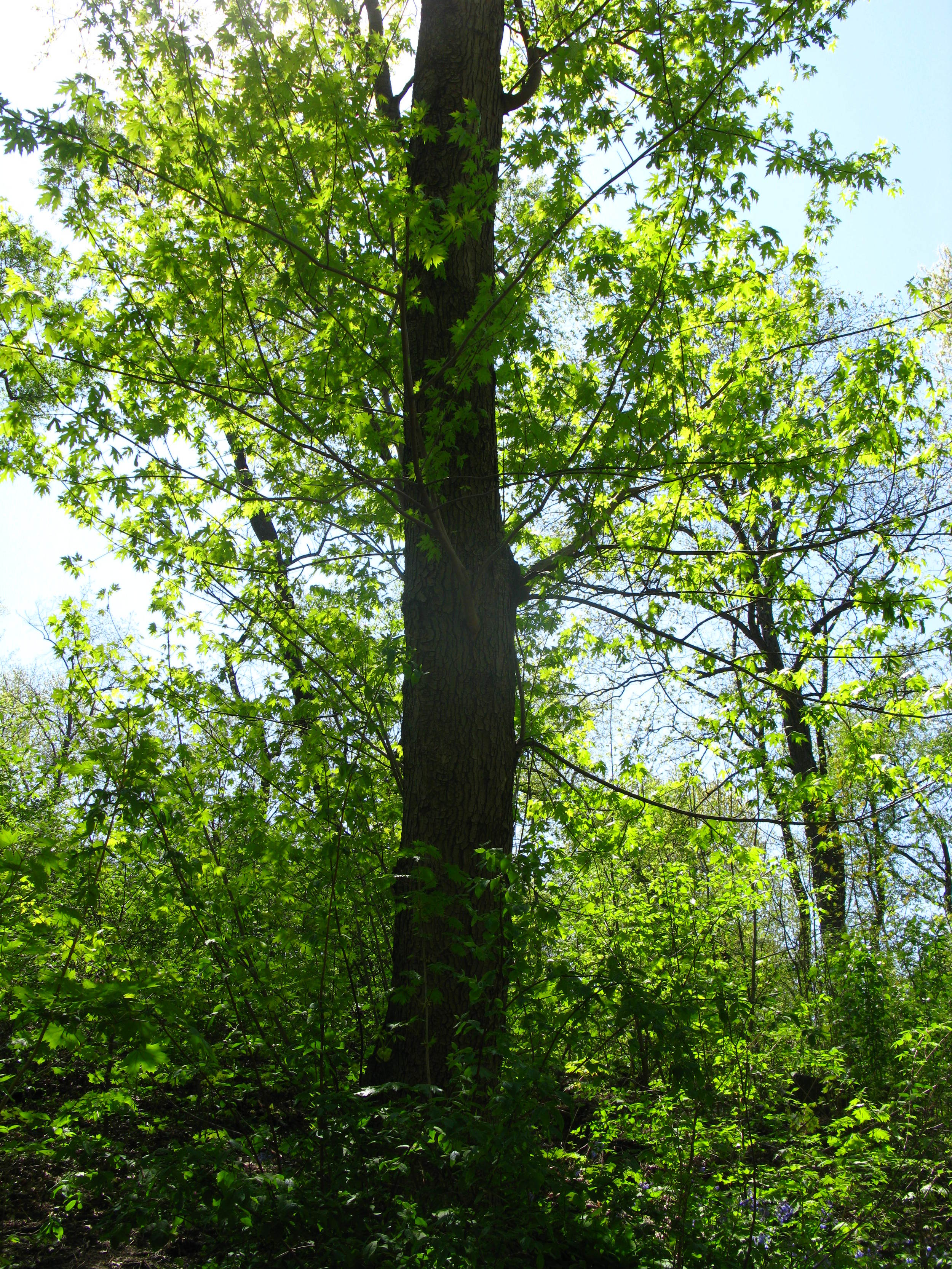 Acersaccharinum  Sapindaceae Silver maple