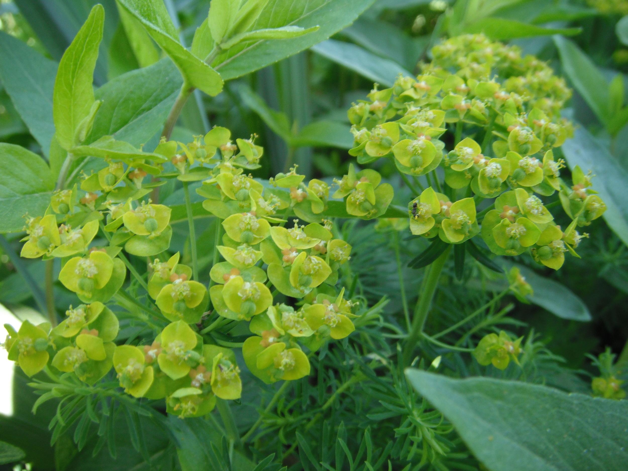 Euphorbia cyparissias Euphorbiaceae