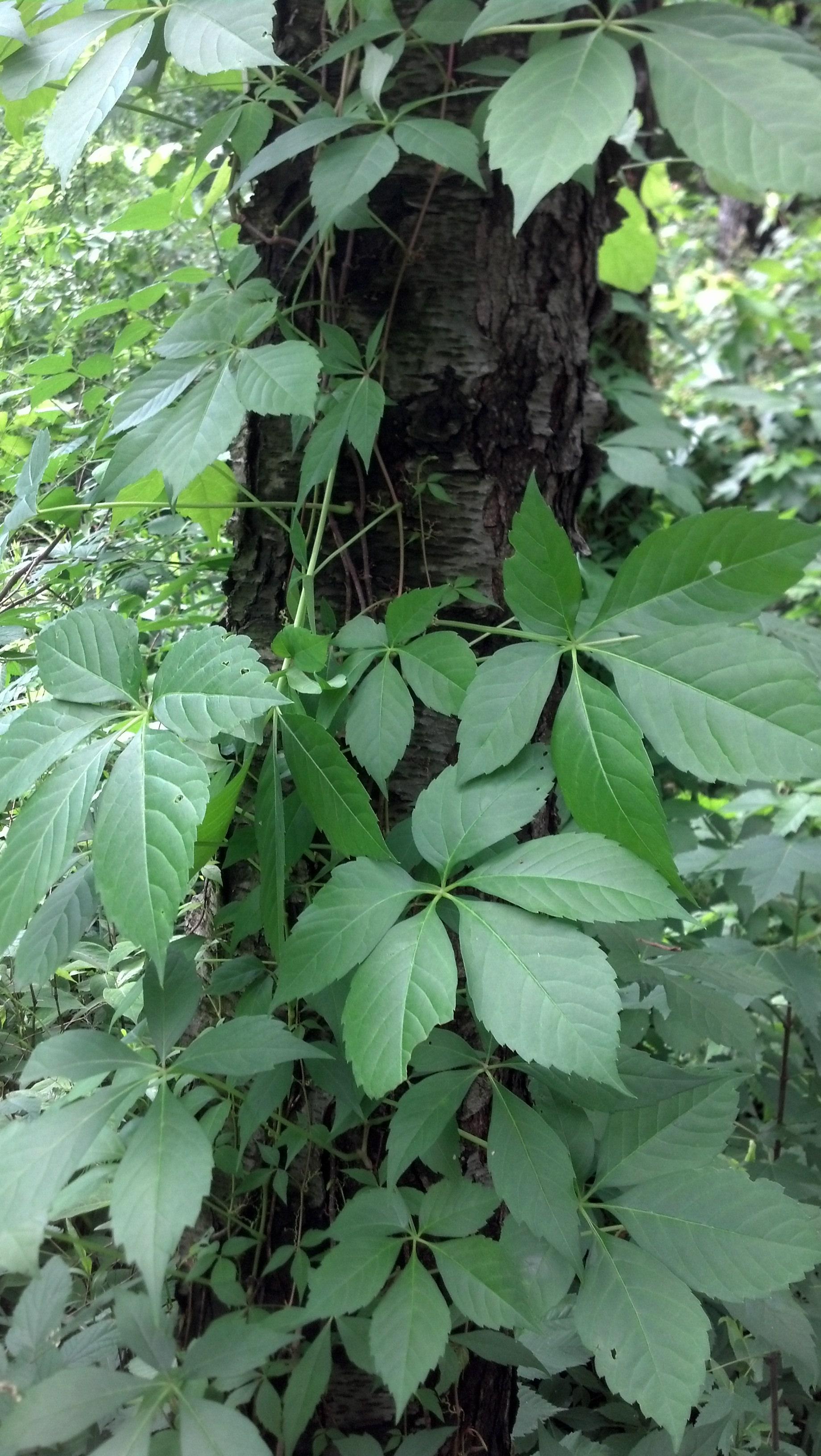 Parthenocissus quinquefolia Vitaceae