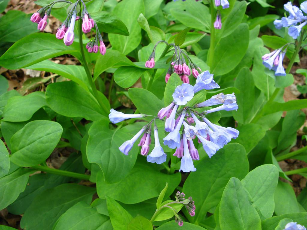 Mertensia virginica  Boraginaceae