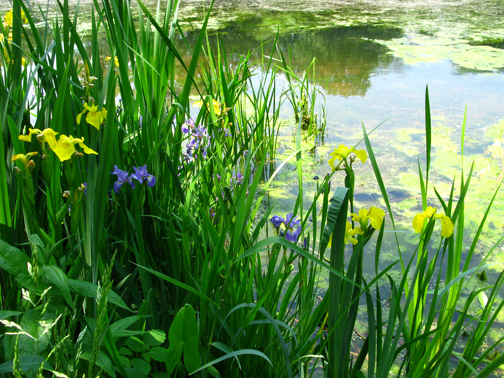 A mix of  Iris versicolor and I. pseudacorus  Iridaceae