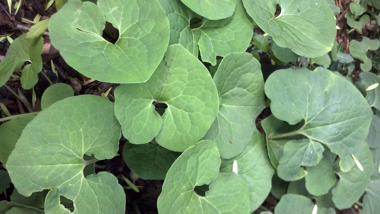 Asarum canadense  Aristolochiaceae