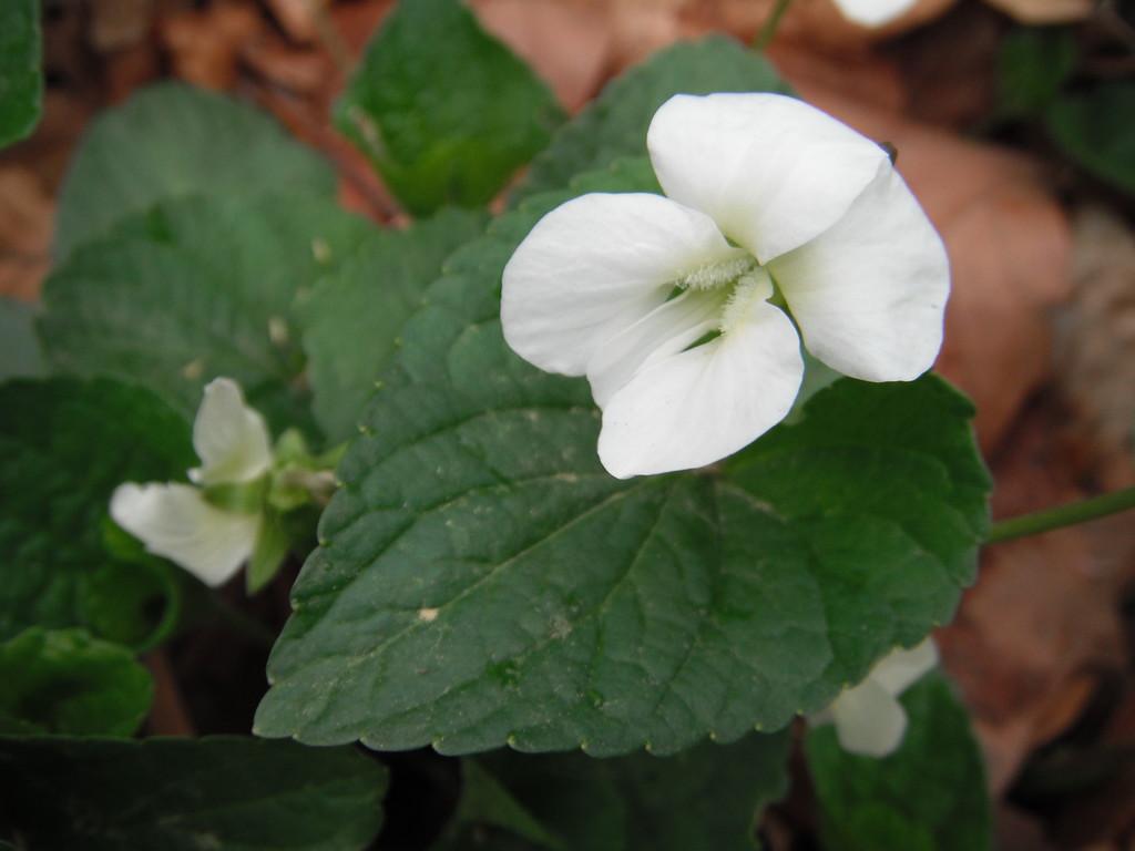 Viola striata  Violaceae