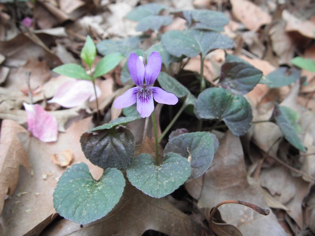 Viola labradorica  Violaceae