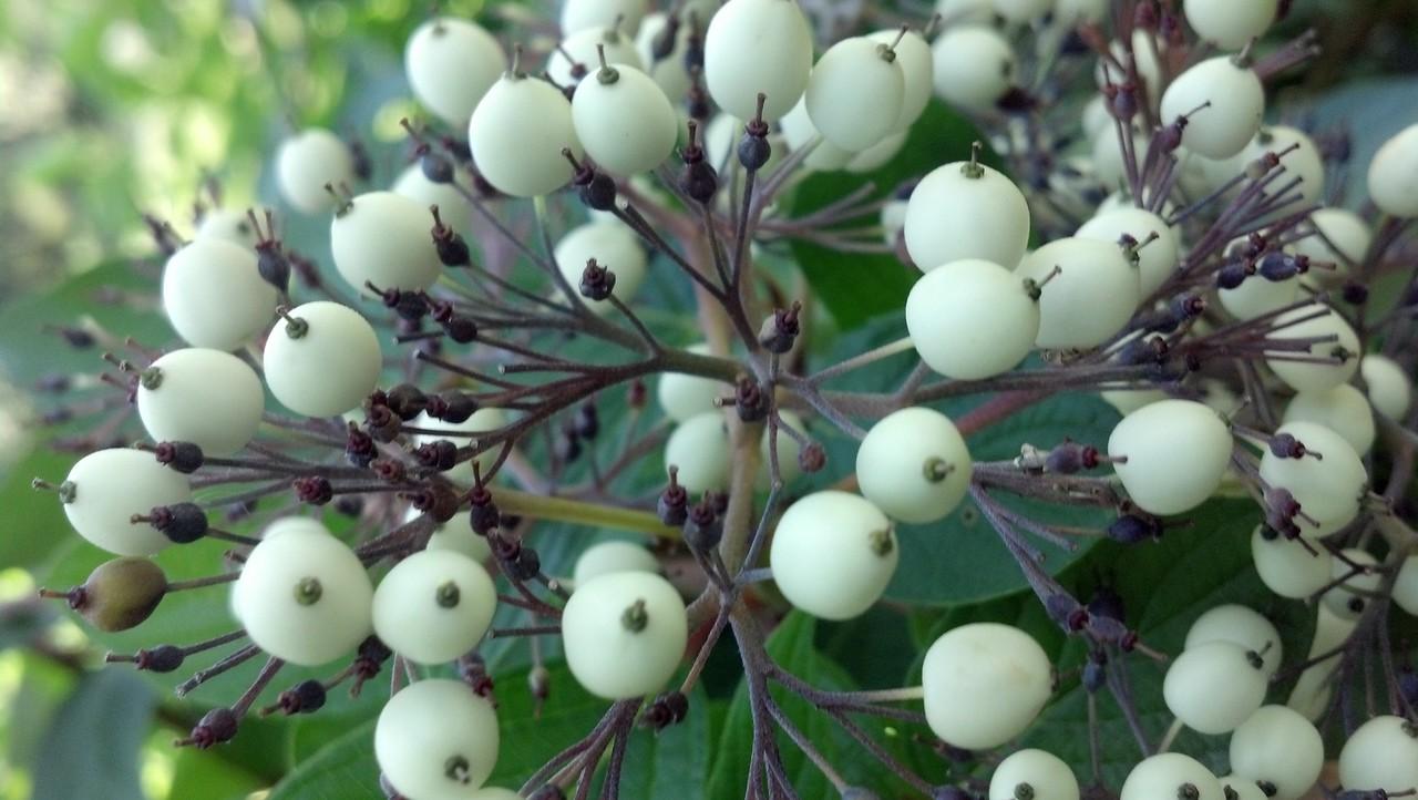 Cornus racemosa  Cornaceae