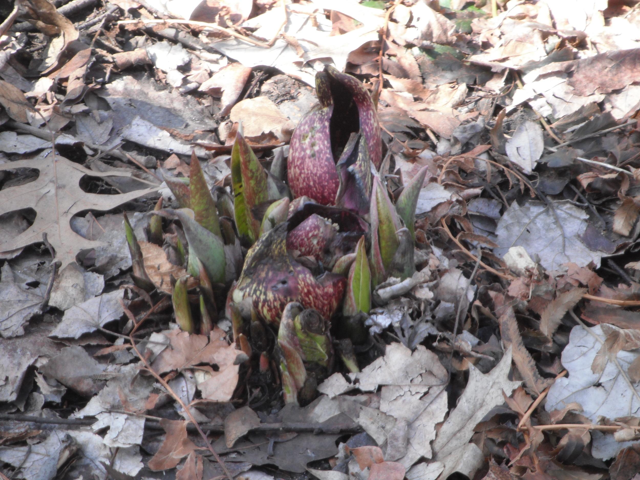 Emerging flower of  Symplocarpus foetidus  Araceae