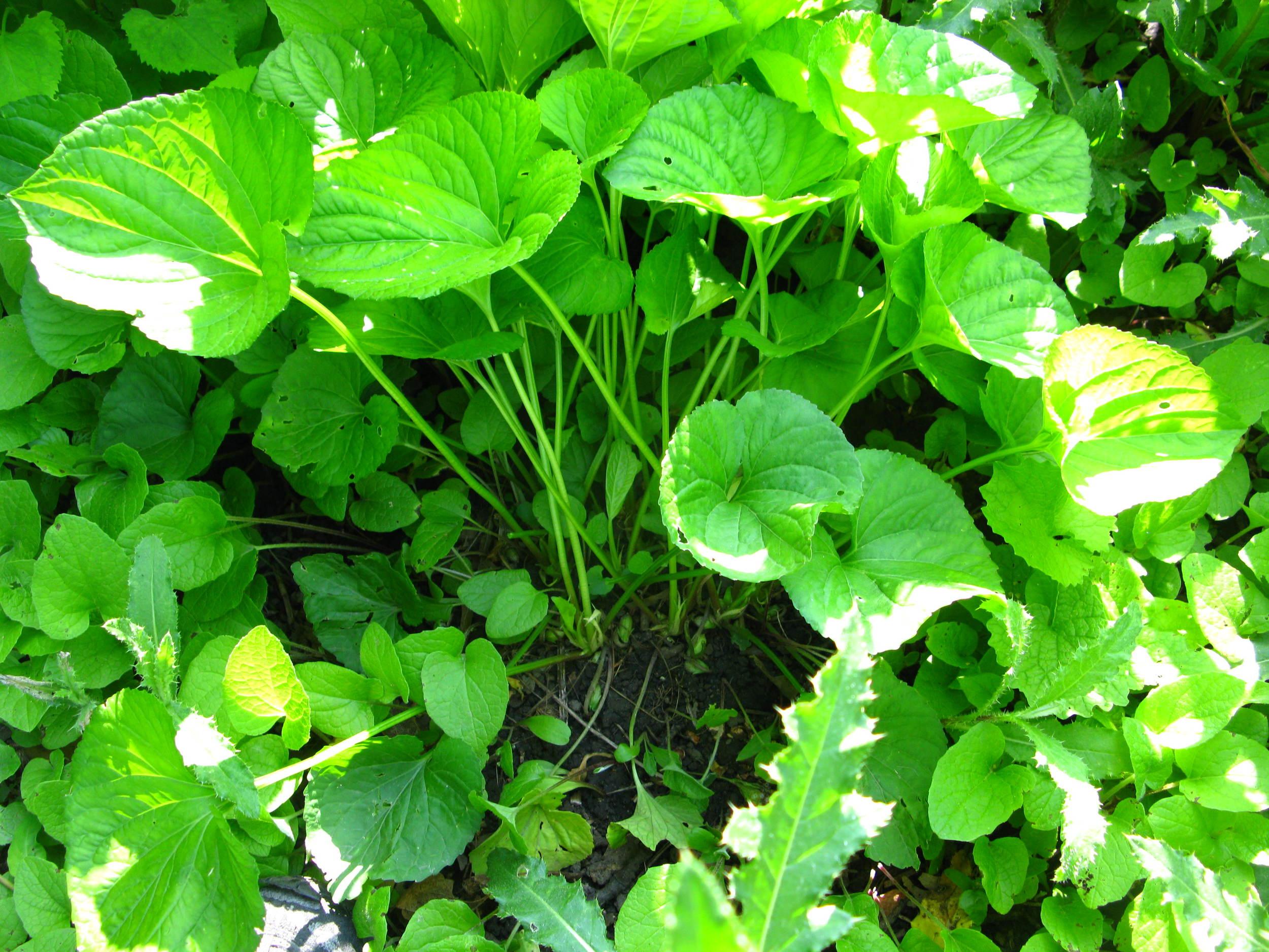 Viola sororia  Violaceae
