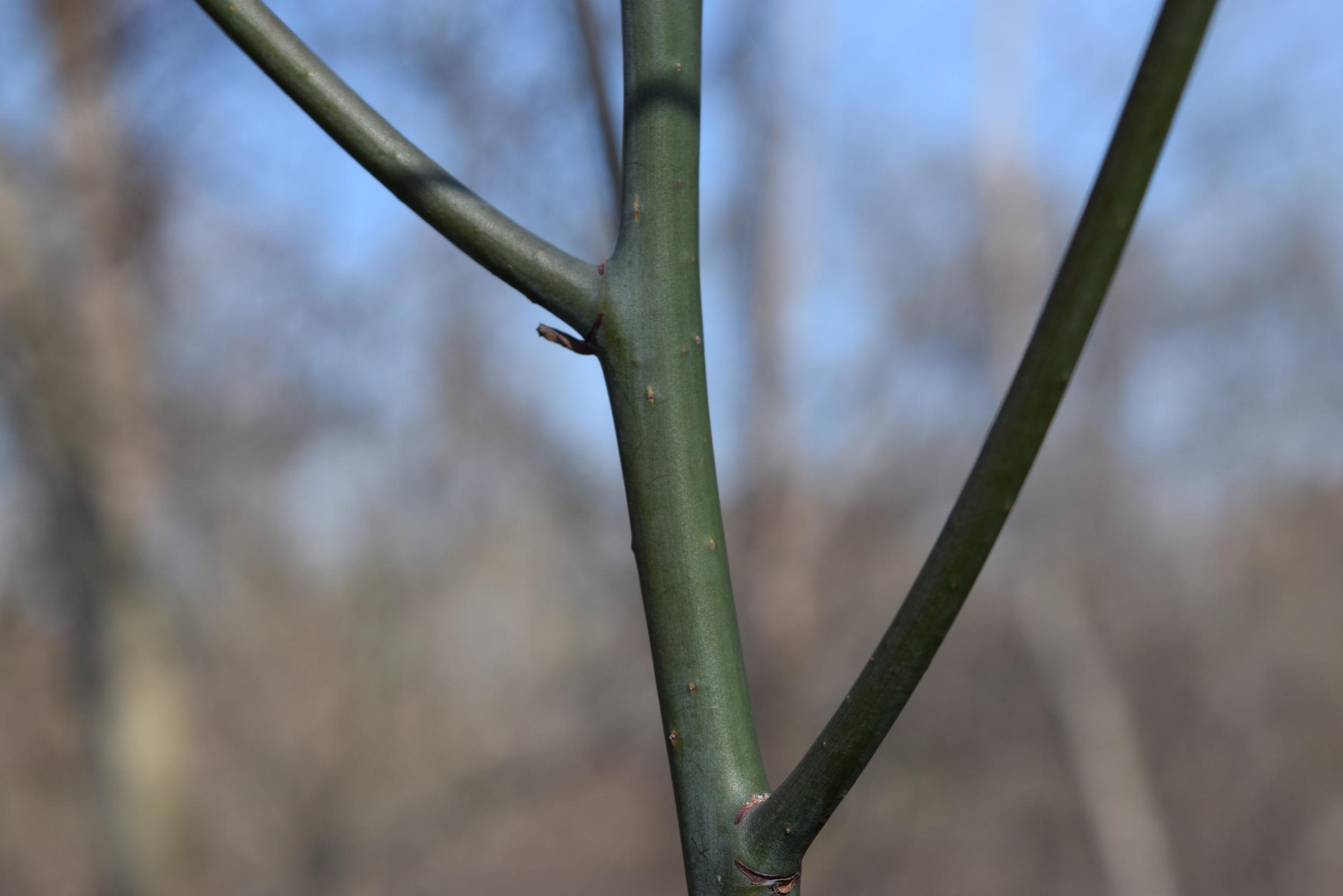 Sassafras albidum  Lauraceae