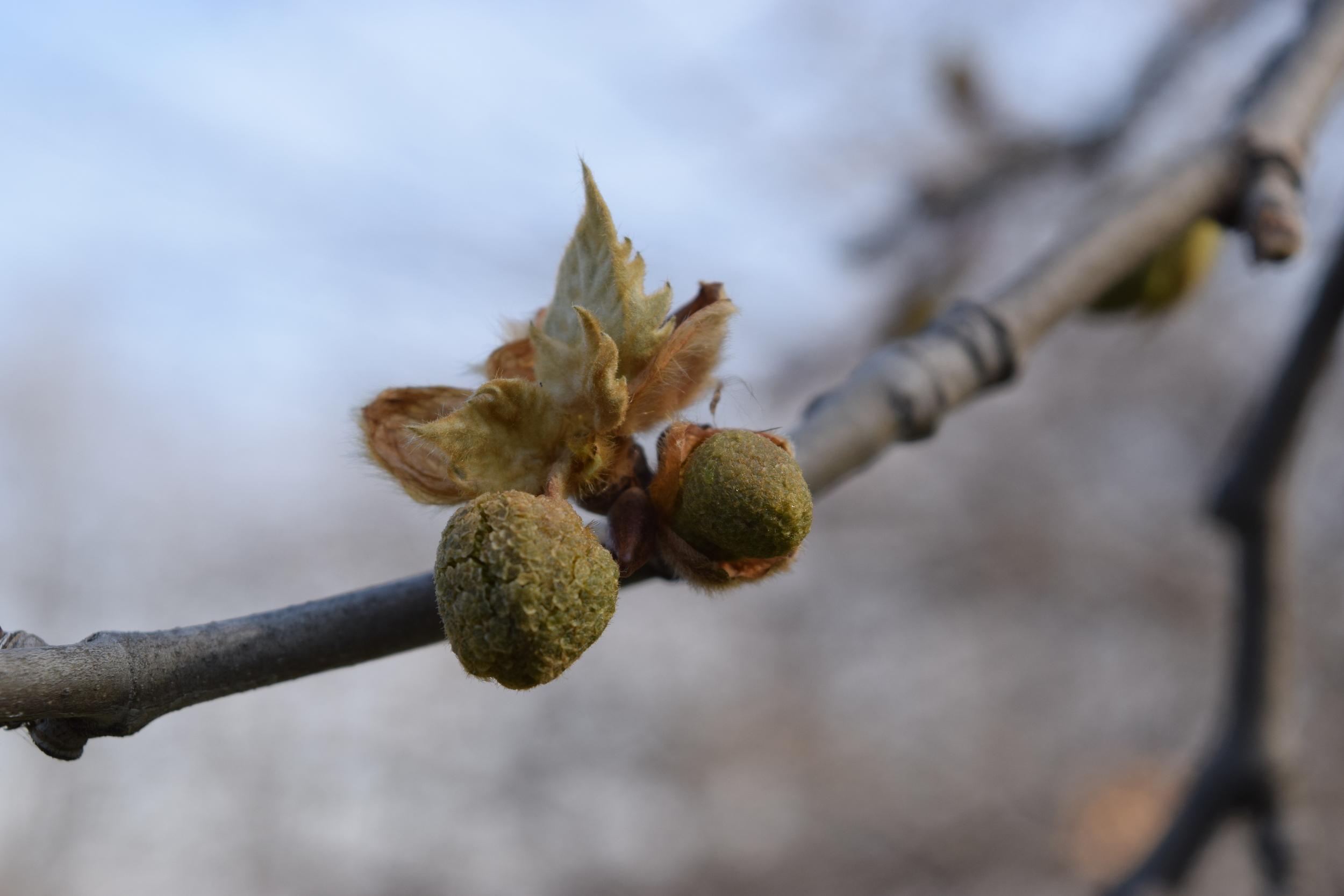 Platanus  x acerifolia  Platanaceae