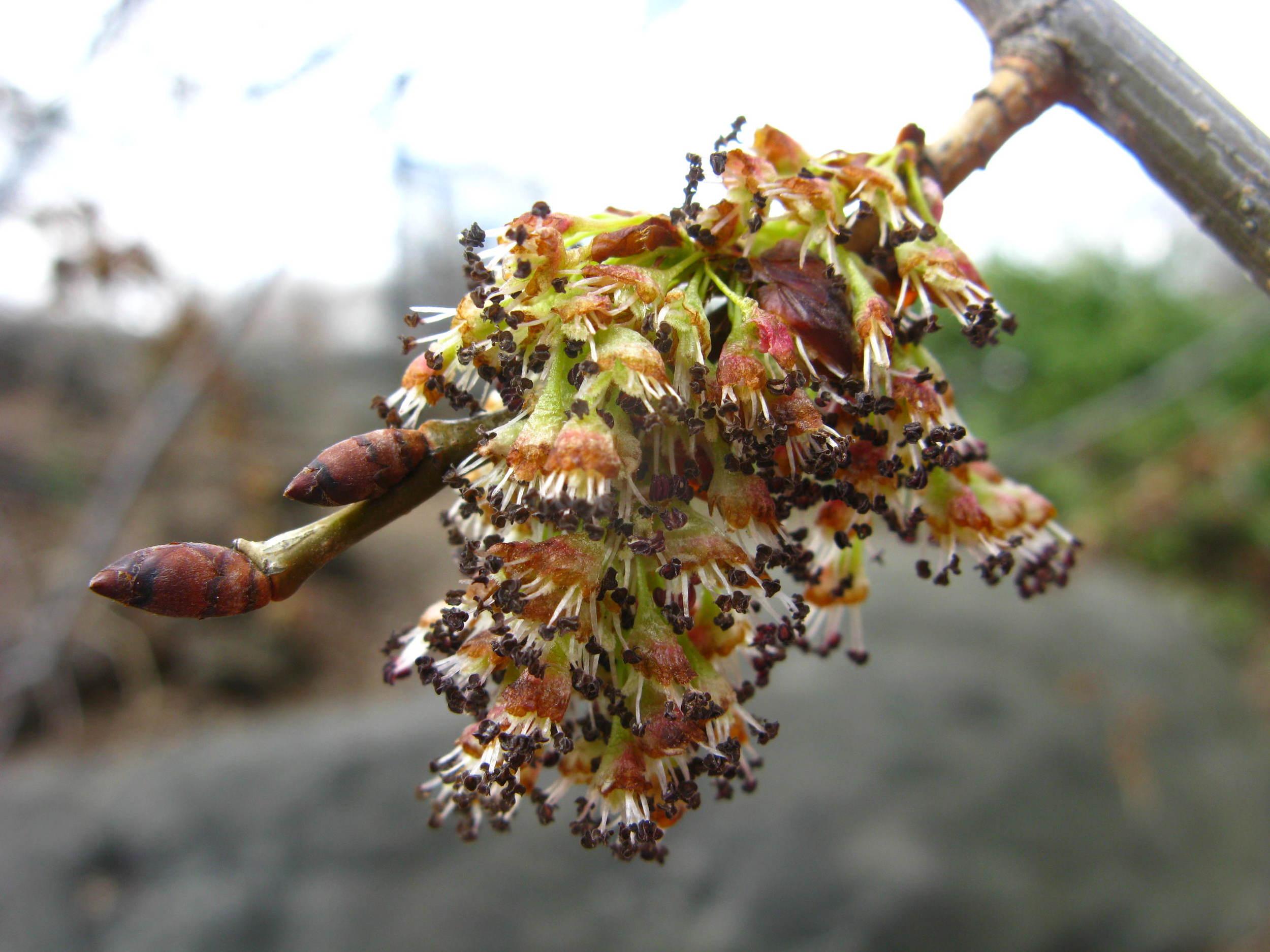 Ulmus americana  Ulmaceae