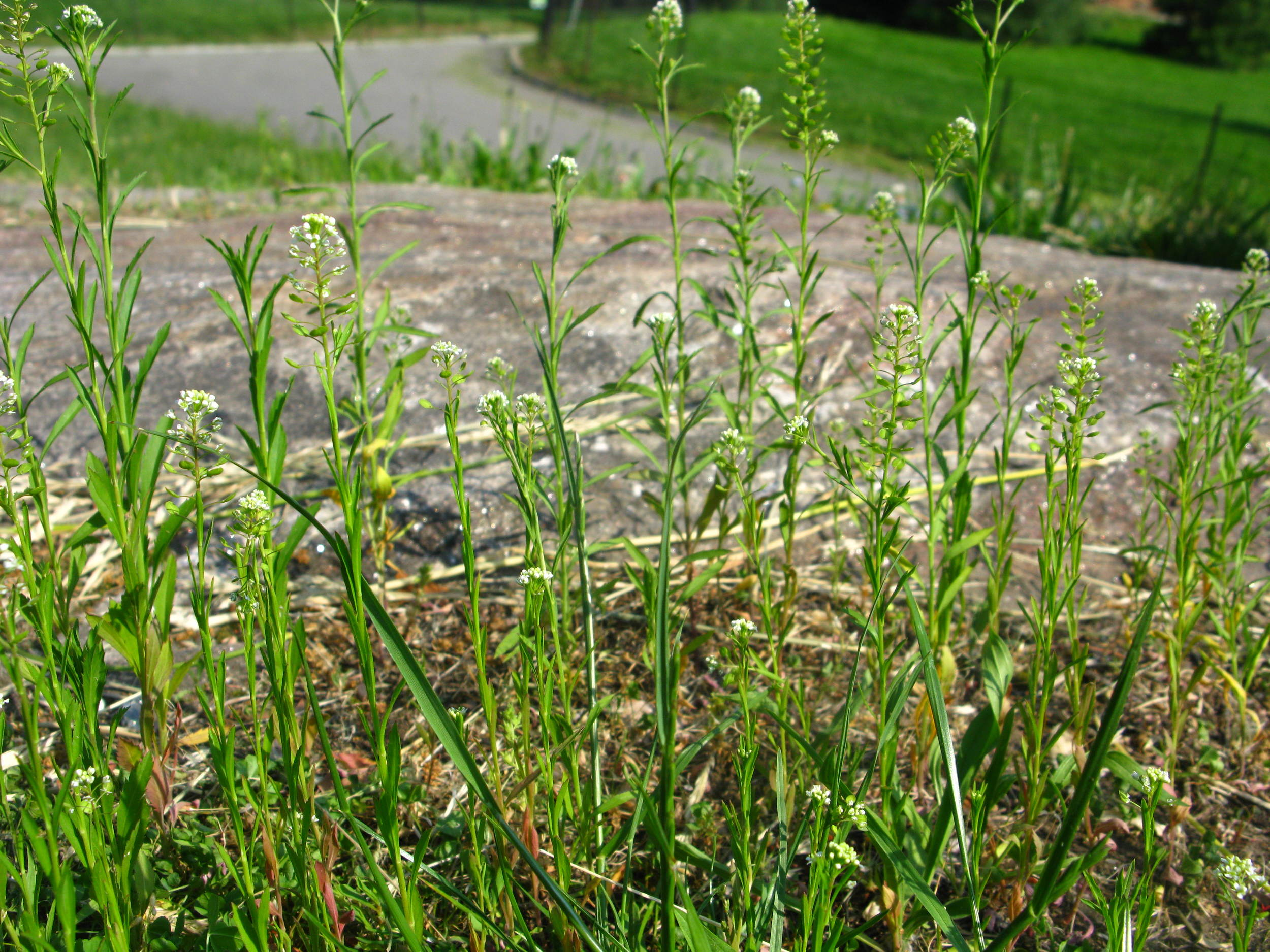 Lepidium virginicum  Virginia pepperweed