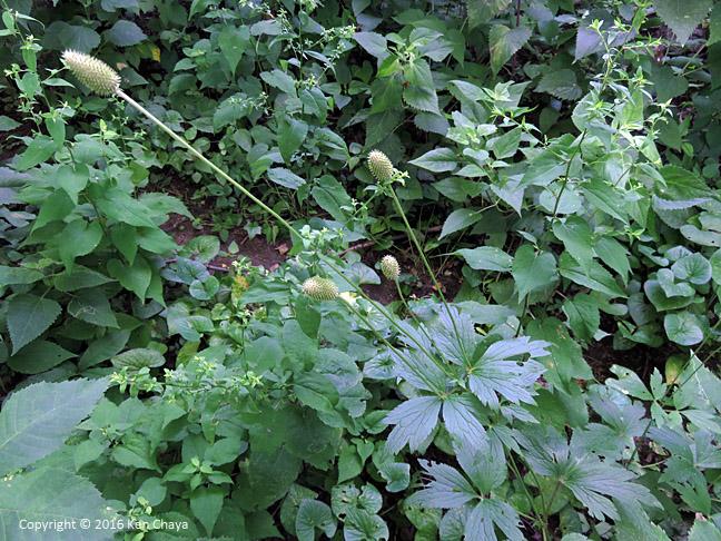 Anemone virginiana  Ranunculaceae. In fruit. Photo by Ken Chaya